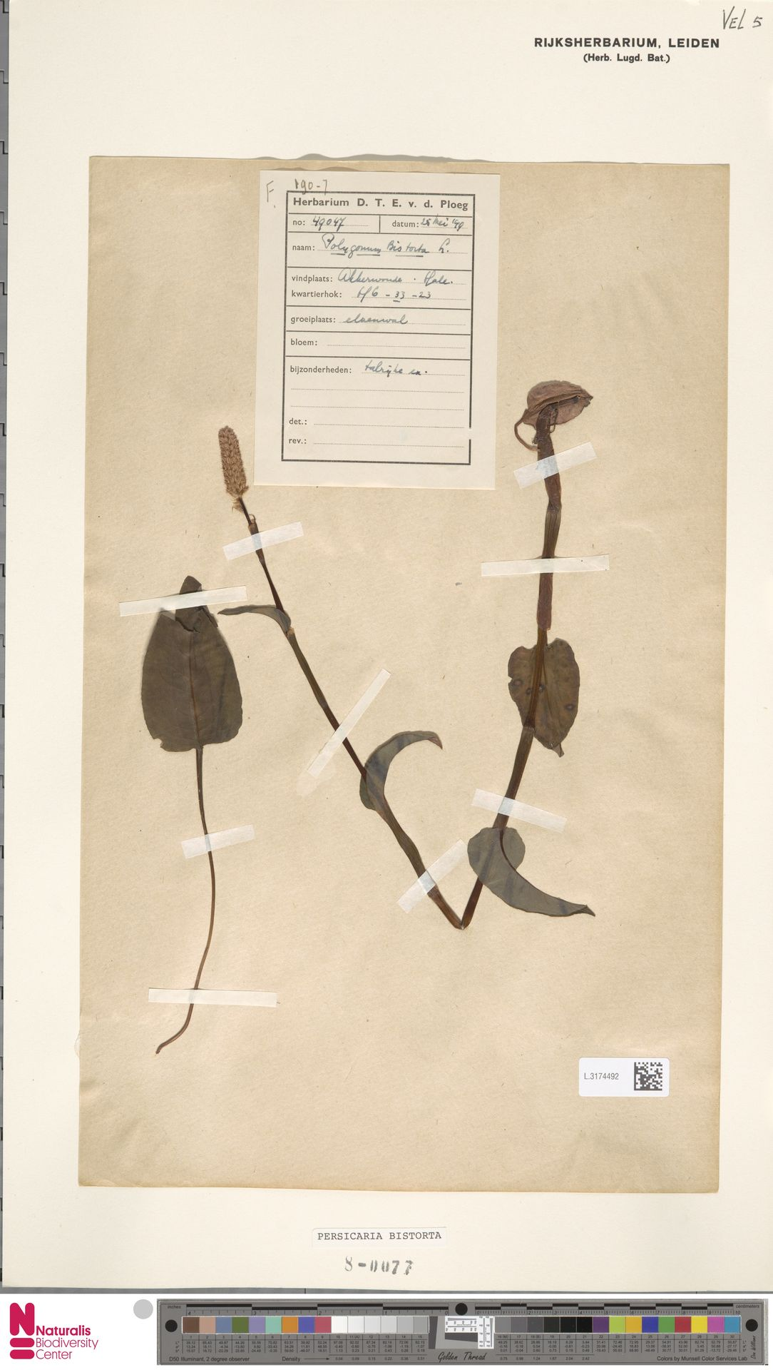 L.3174492 | Persicaria bistorta (L.) Samp.