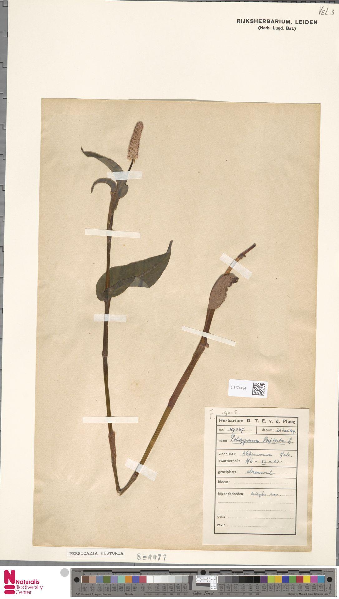 L.3174494 | Persicaria bistorta (L.) Samp.