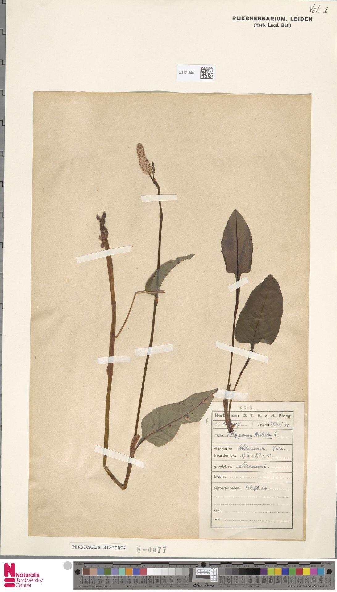 L.3174496 | Persicaria bistorta (L.) Samp.