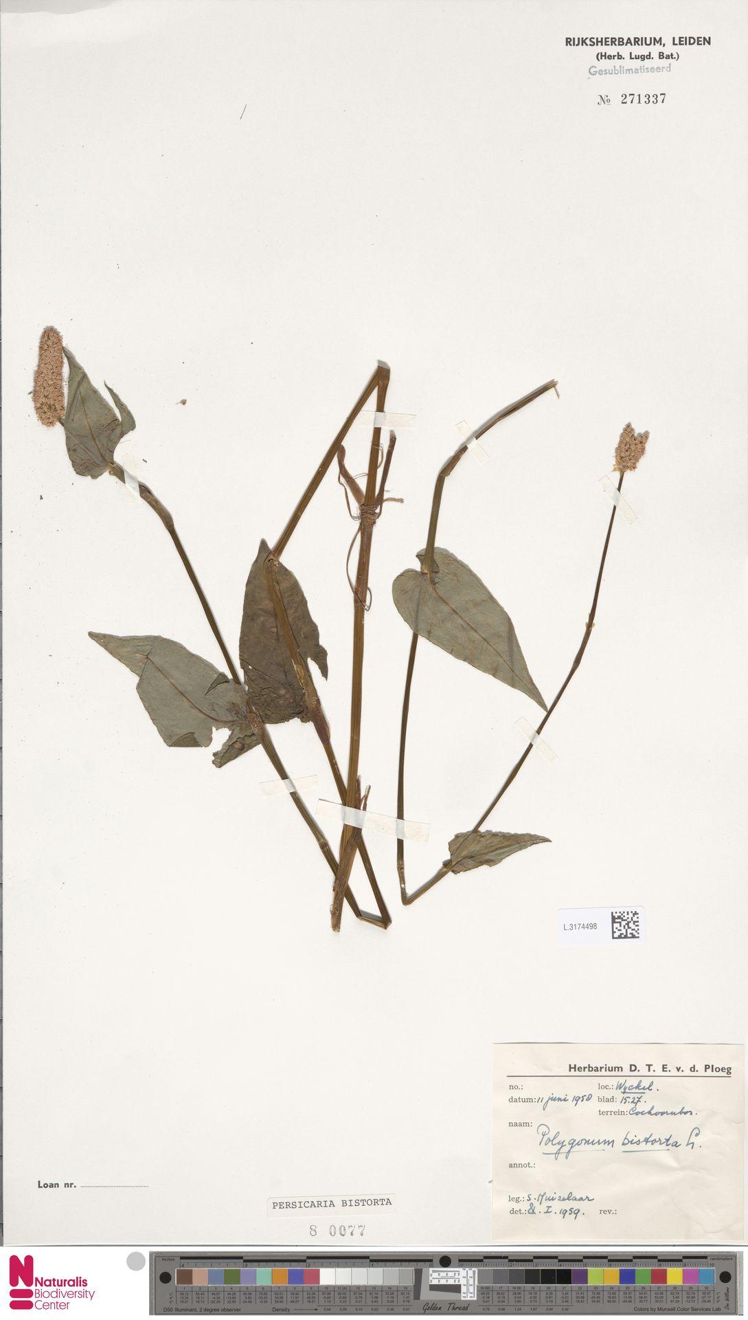 L.3174498 | Persicaria bistorta (L.) Samp.