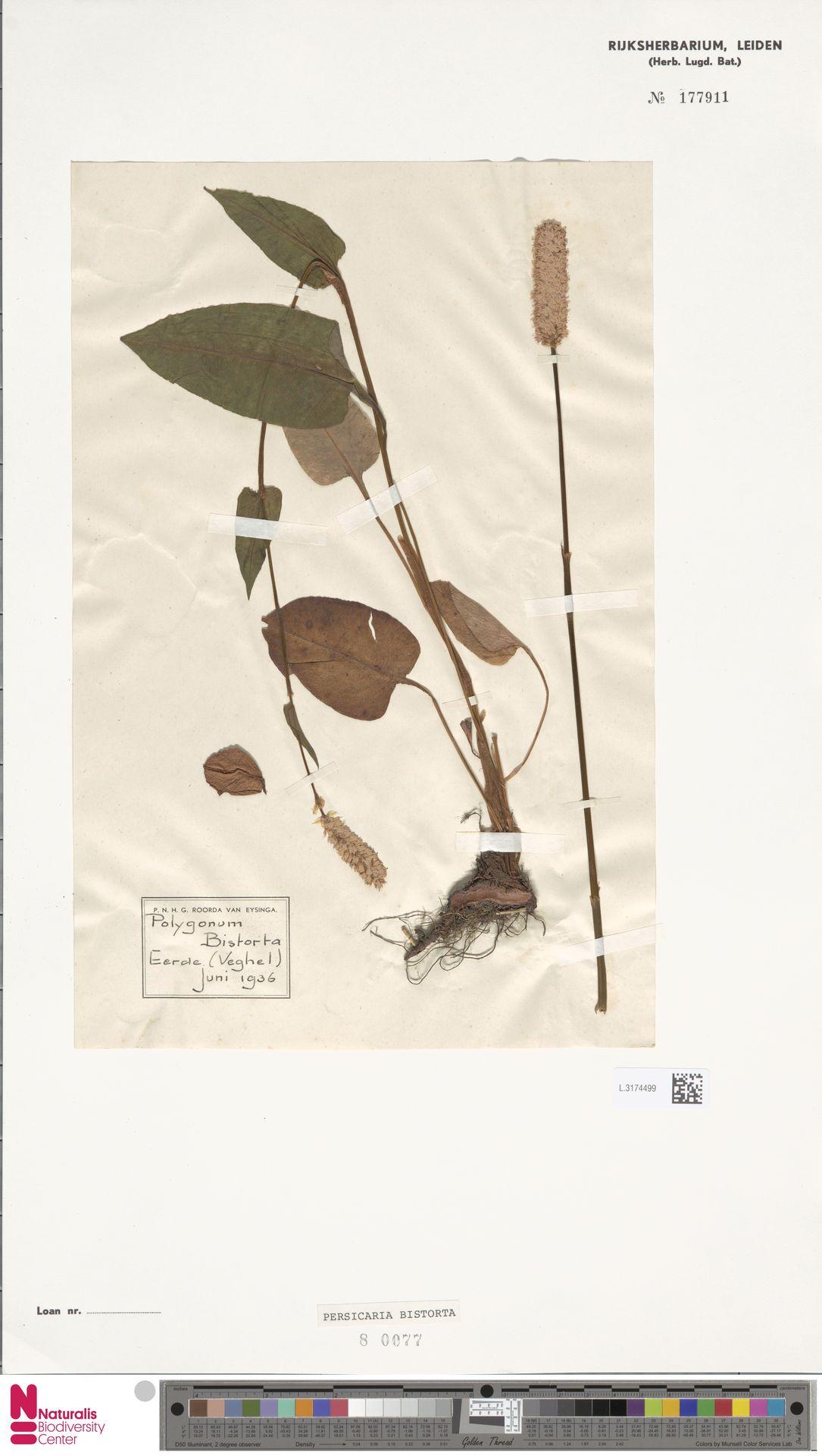 L.3174499 | Persicaria bistorta (L.) Samp.