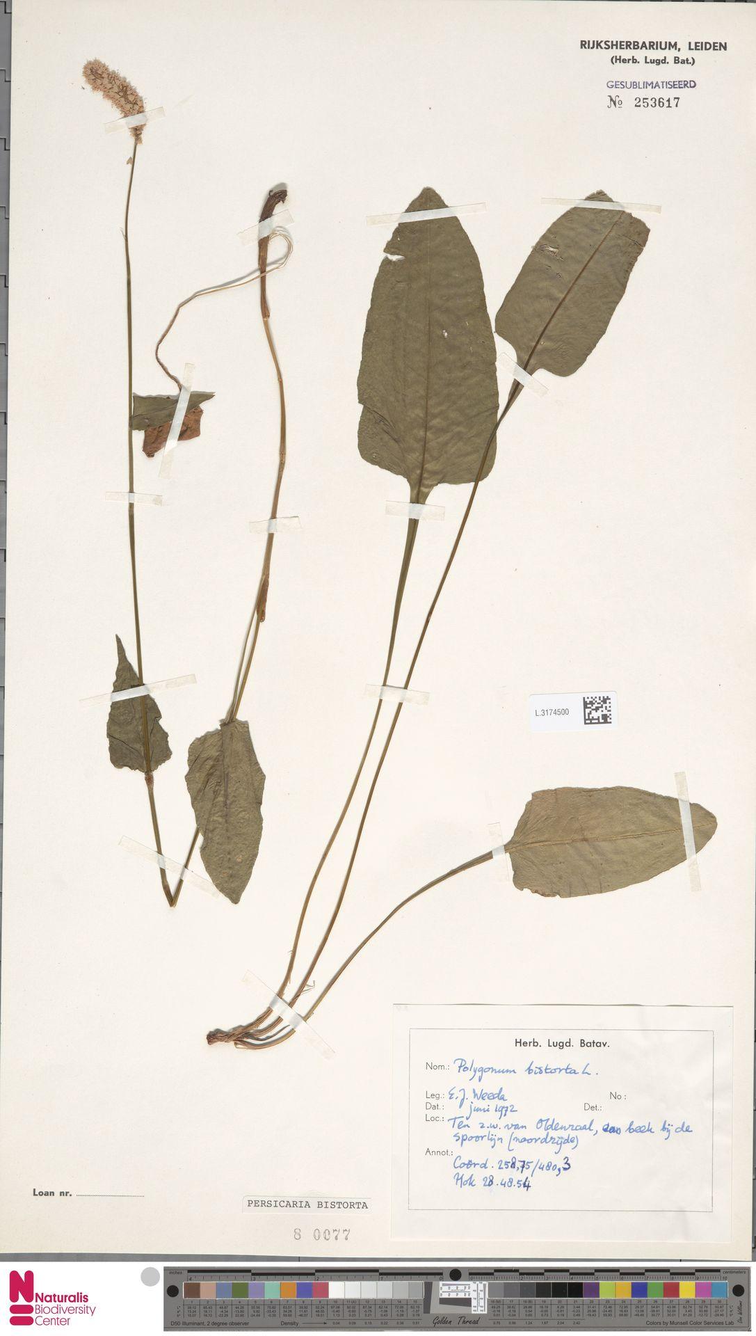 L.3174500 | Persicaria bistorta (L.) Samp.