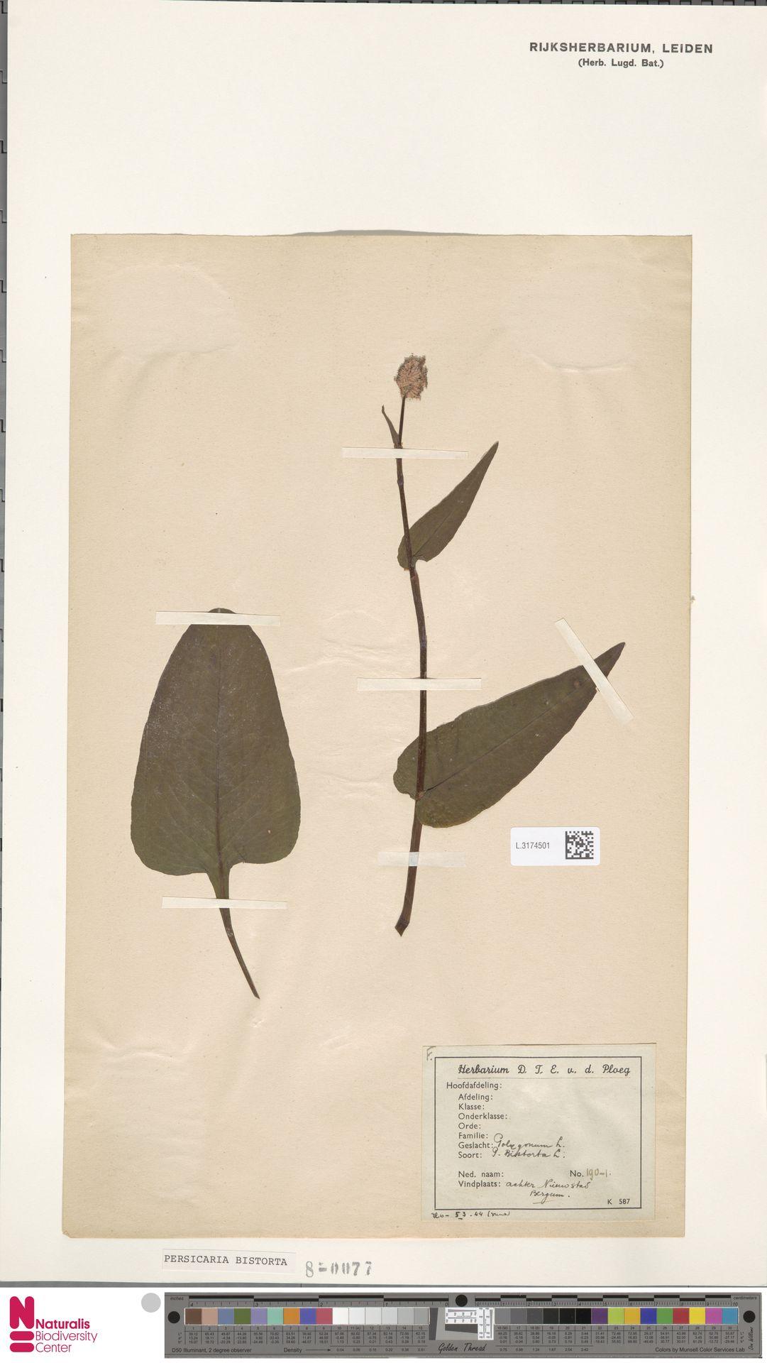 L.3174501 | Persicaria bistorta (L.) Samp.