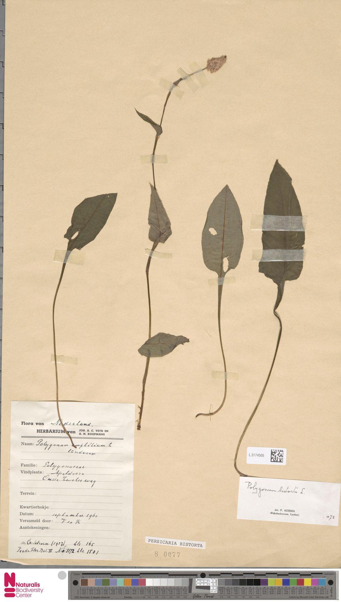L.3174505   Persicaria bistorta (L.) Samp.