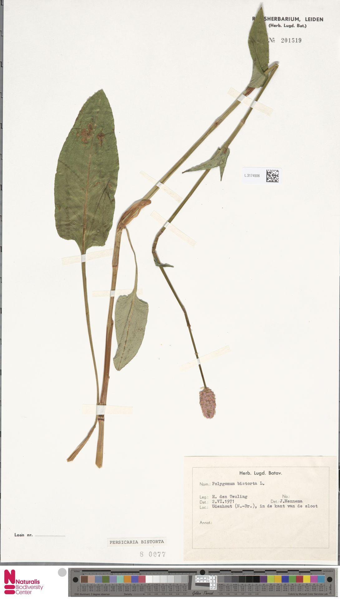 L.3174506 | Persicaria bistorta (L.) Samp.