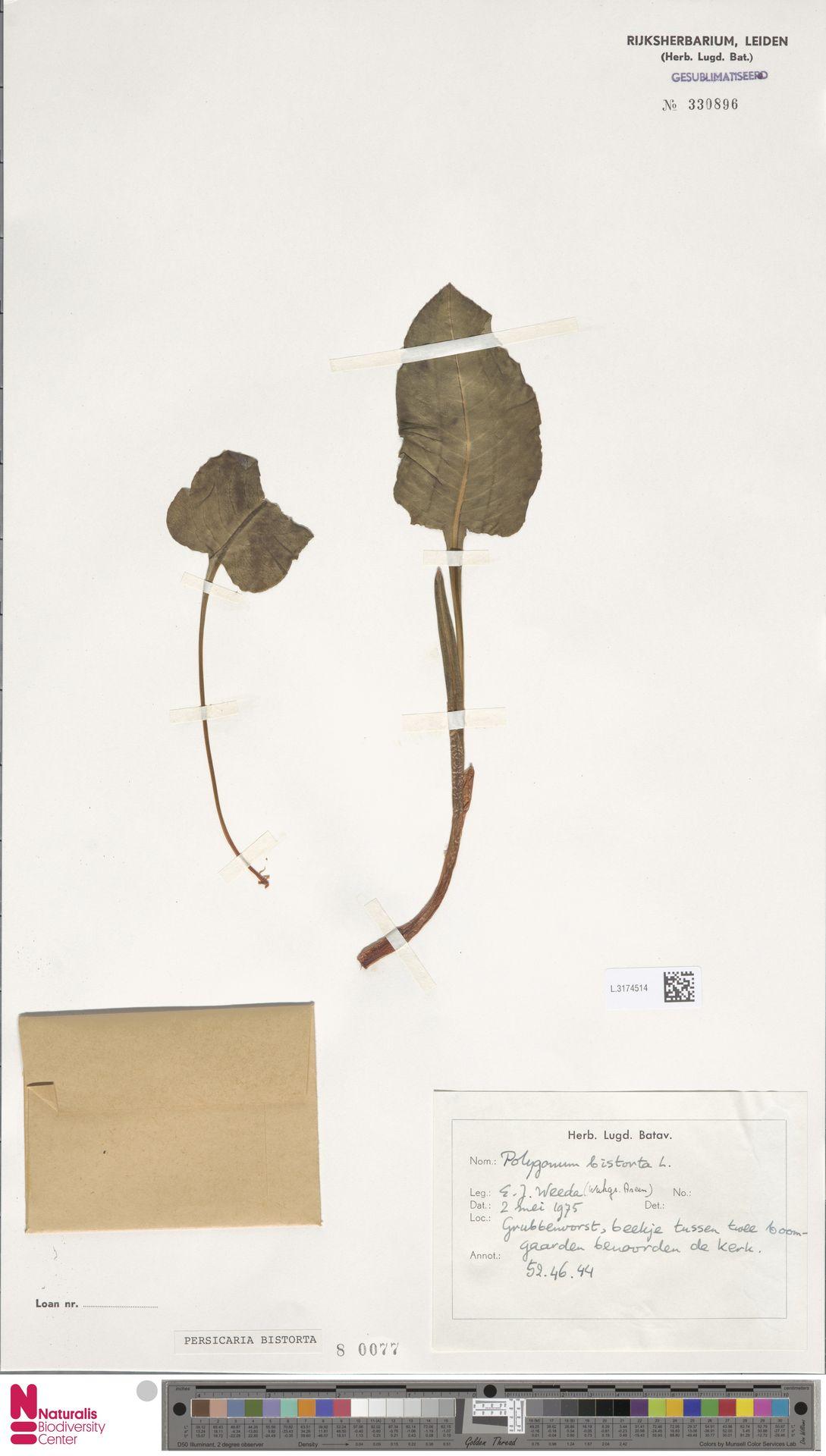L.3174514 | Persicaria bistorta (L.) Samp.