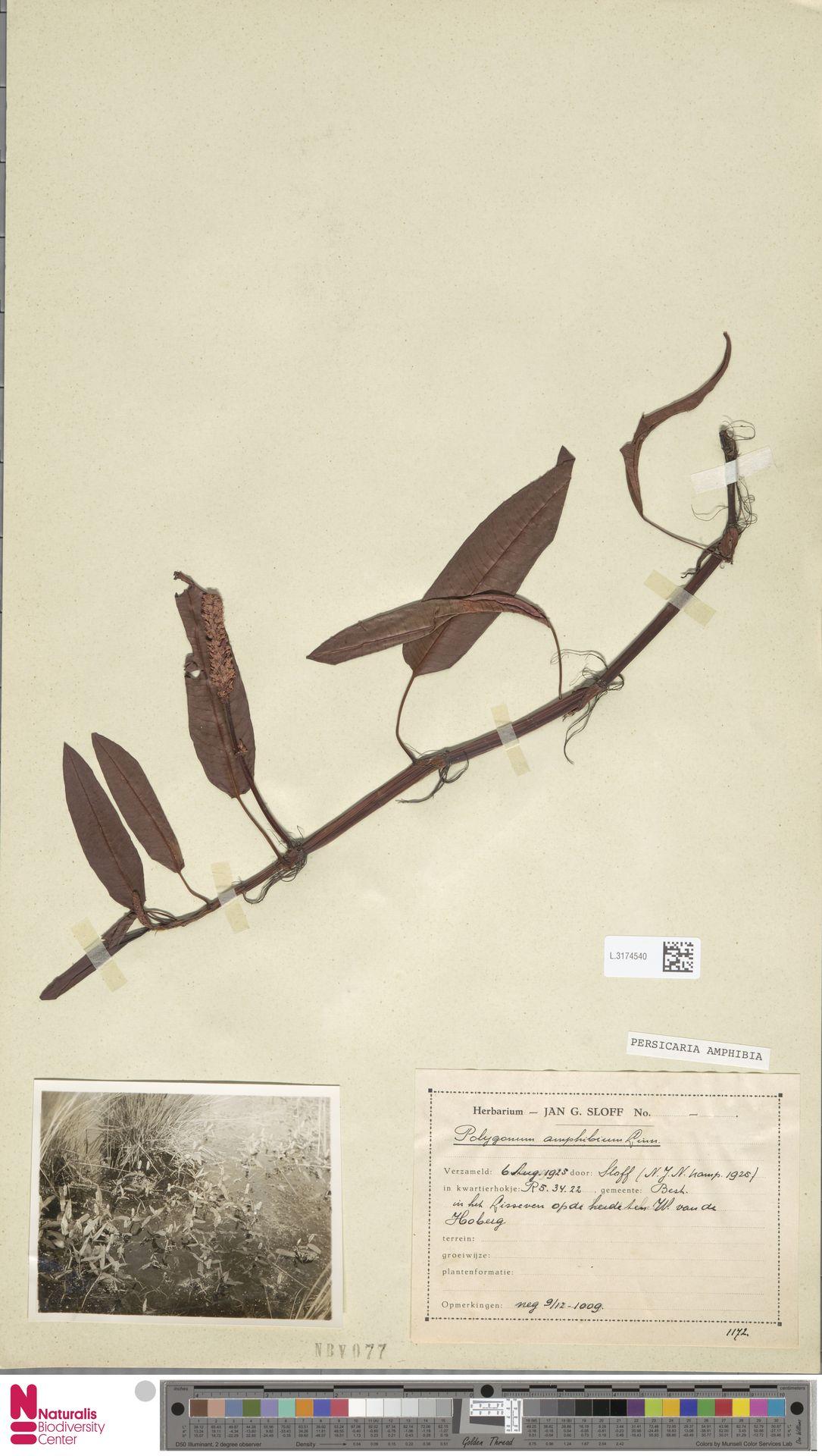 L.3174540 | Persicaria bistorta (L.) Samp.