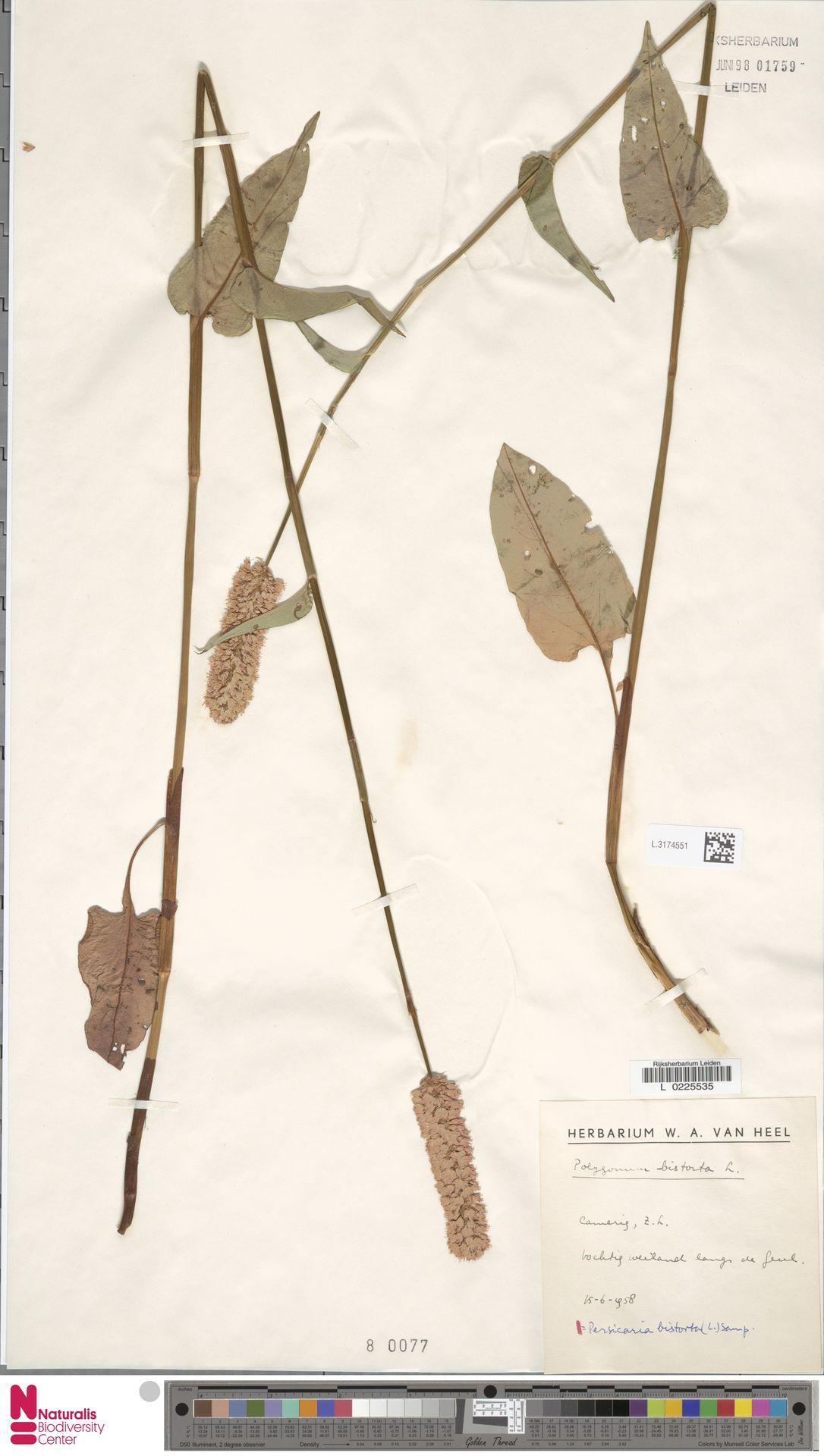 L.3174551 | Persicaria bistorta (L.) Samp.
