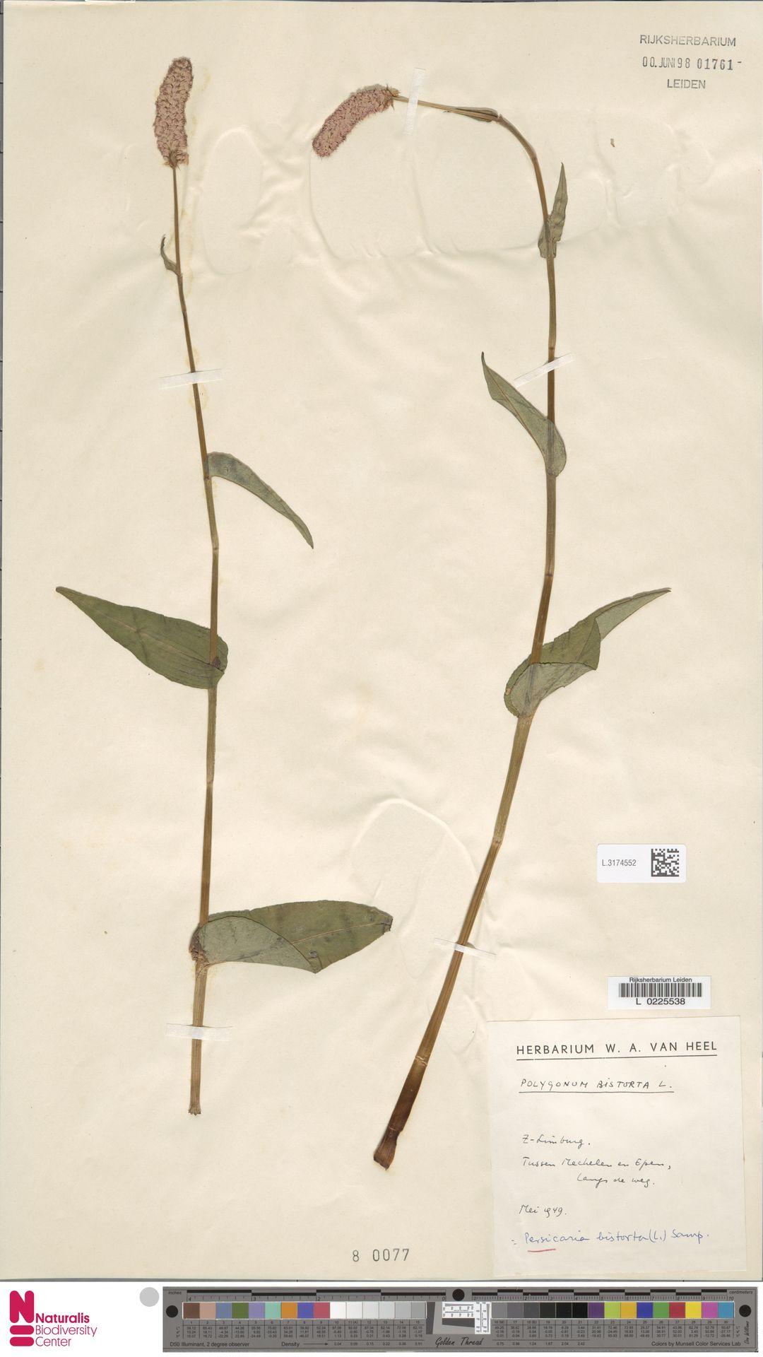 L.3174552 | Persicaria bistorta (L.) Samp.
