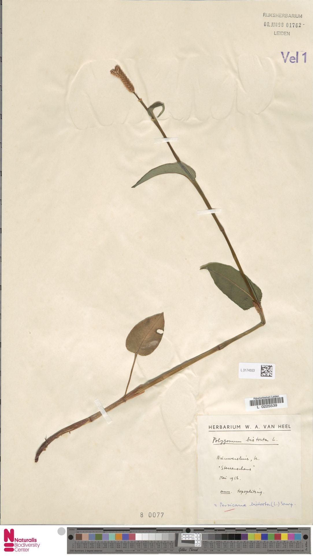 L.3174553 | Persicaria bistorta (L.) Samp.