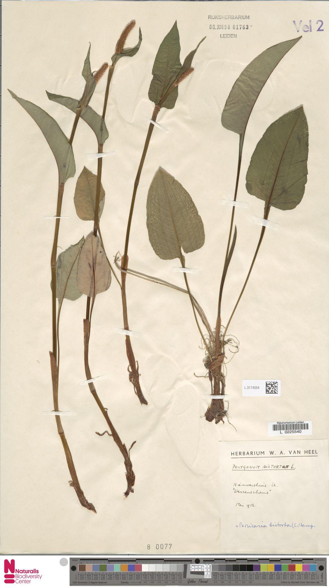 L.3174554 | Persicaria bistorta (L.) Samp.