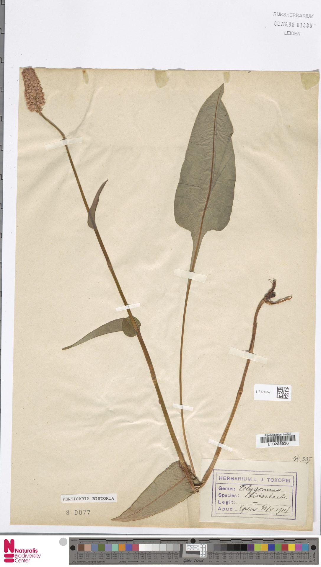 L.3174557 | Persicaria bistorta (L.) Samp.