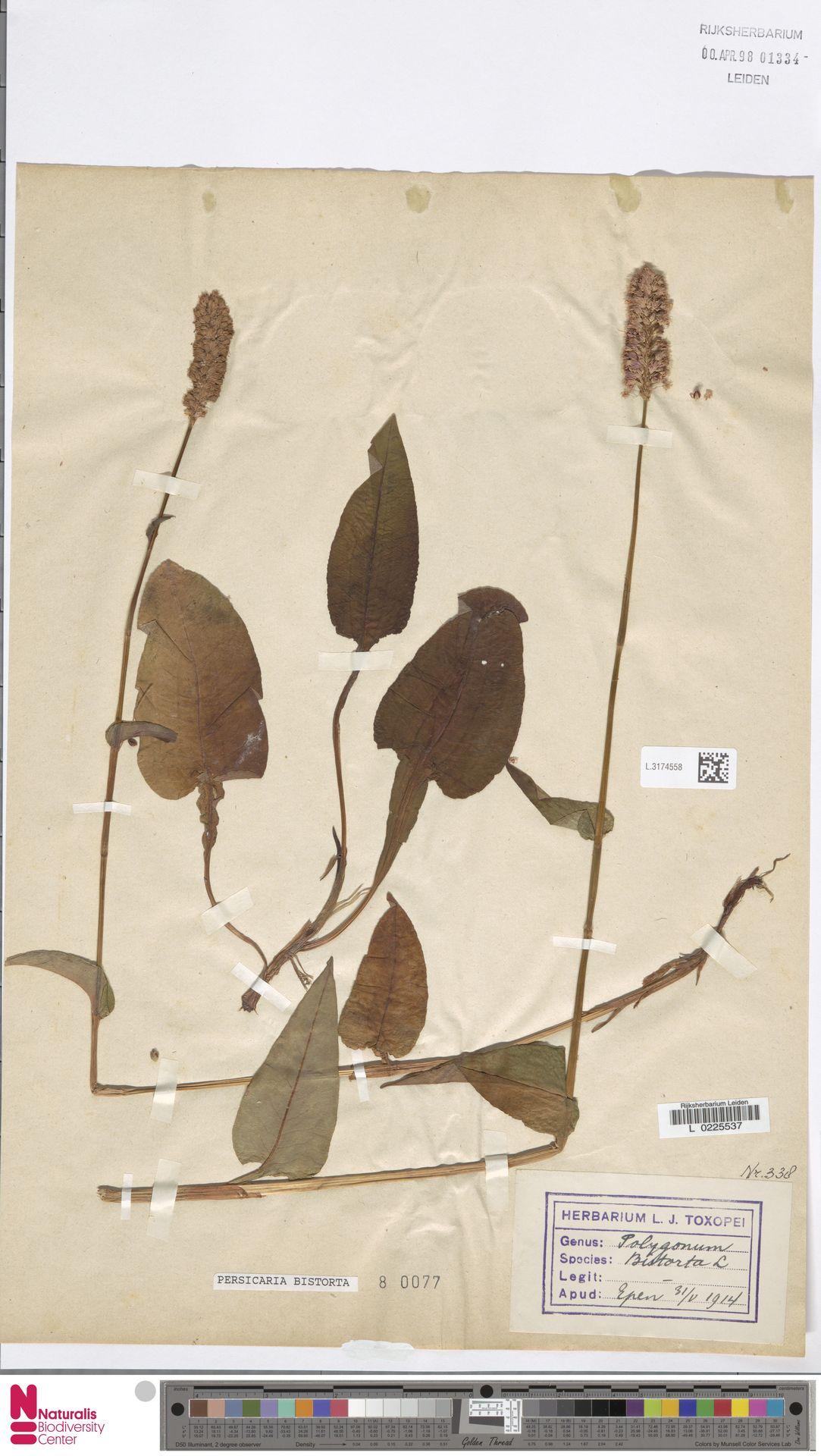L.3174558 | Persicaria bistorta (L.) Samp.