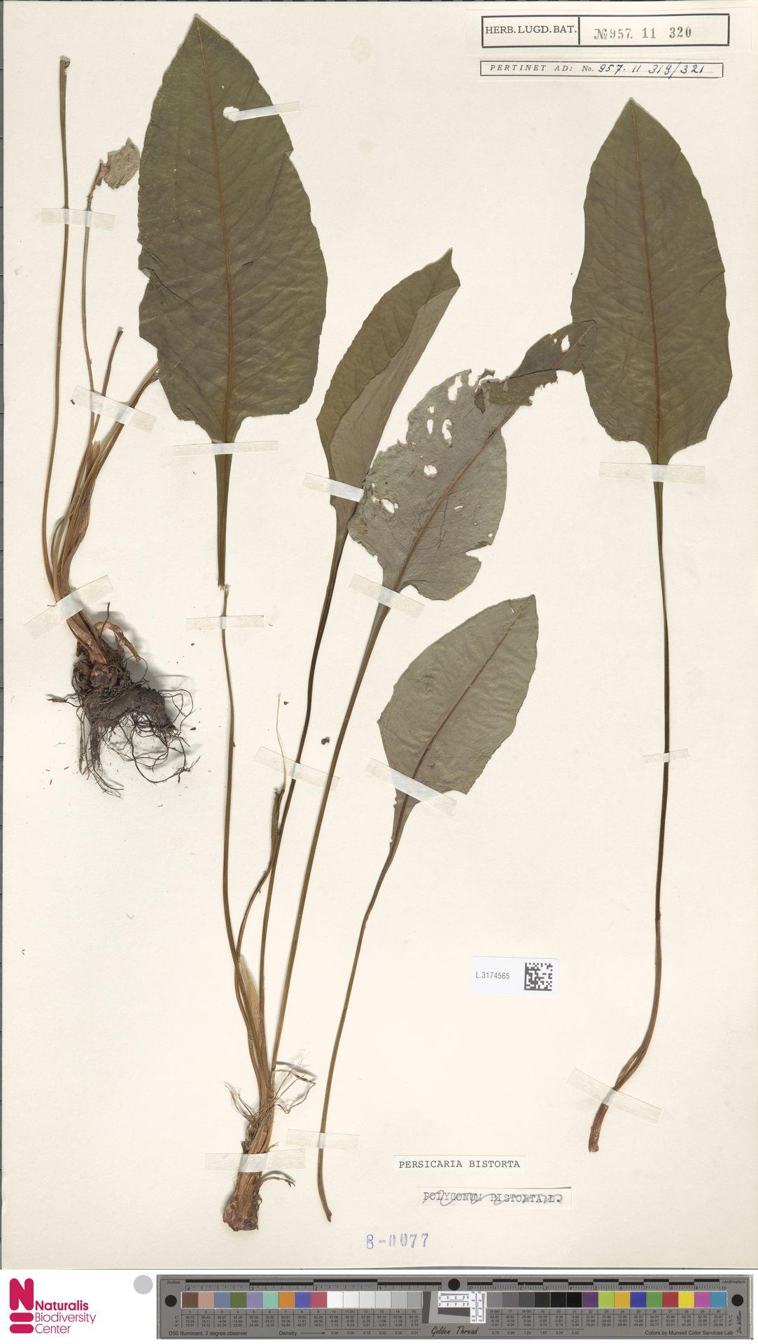 L.3174565 | Persicaria bistorta (L.) Samp.