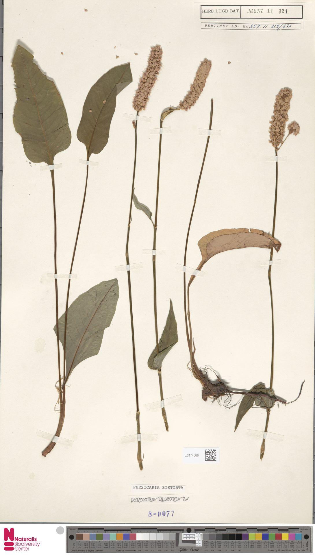 L.3174566 | Persicaria bistorta (L.) Samp.