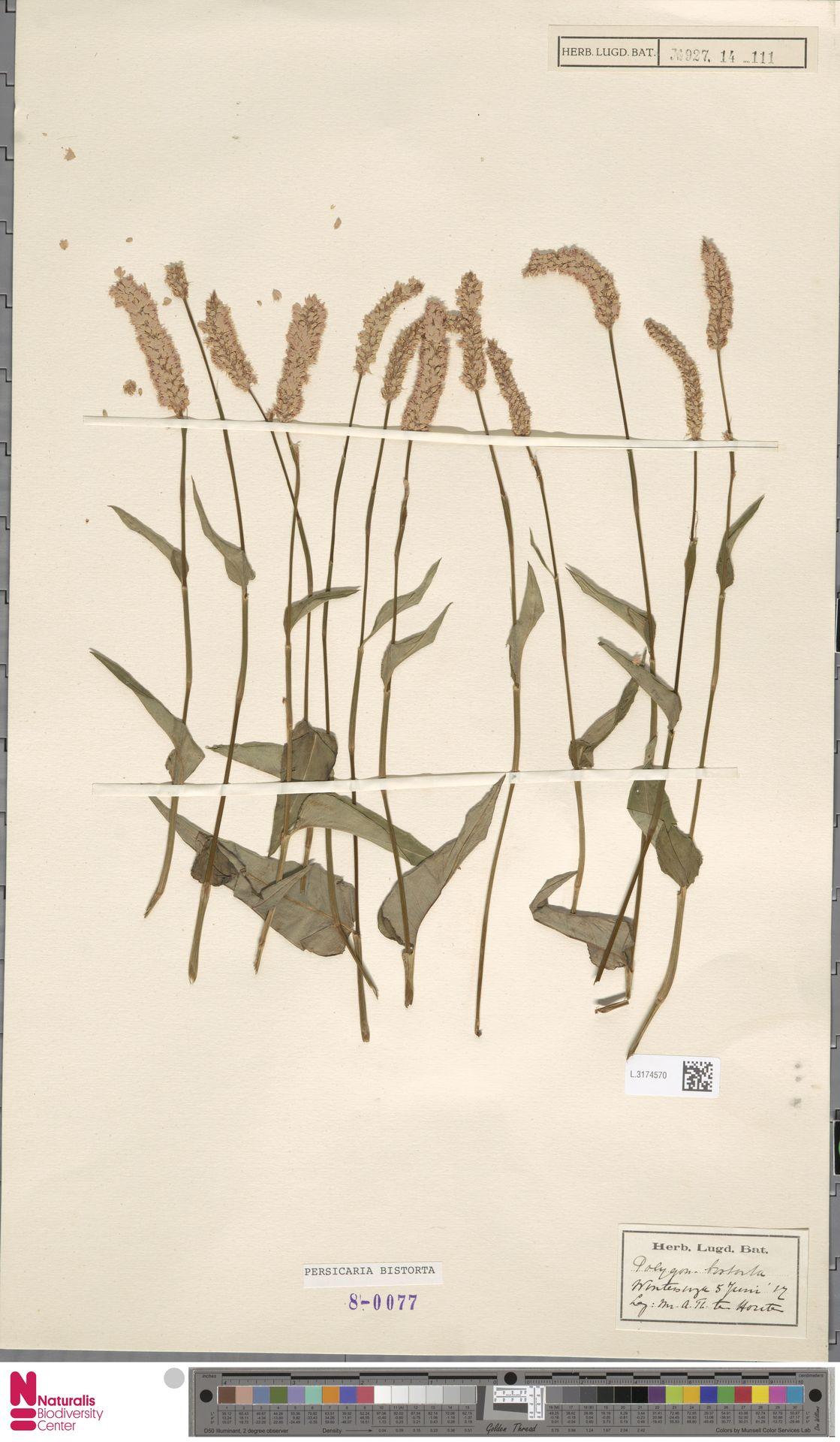 L.3174570 | Persicaria bistorta (L.) Samp.