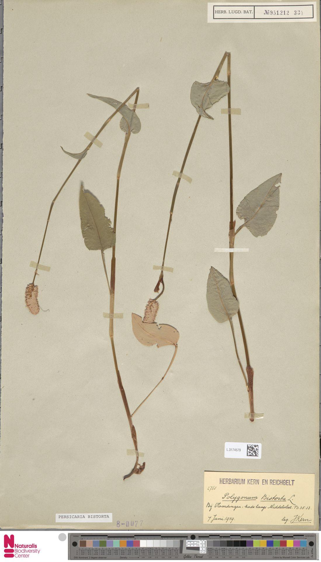 L.3174579   Persicaria bistorta (L.) Samp.