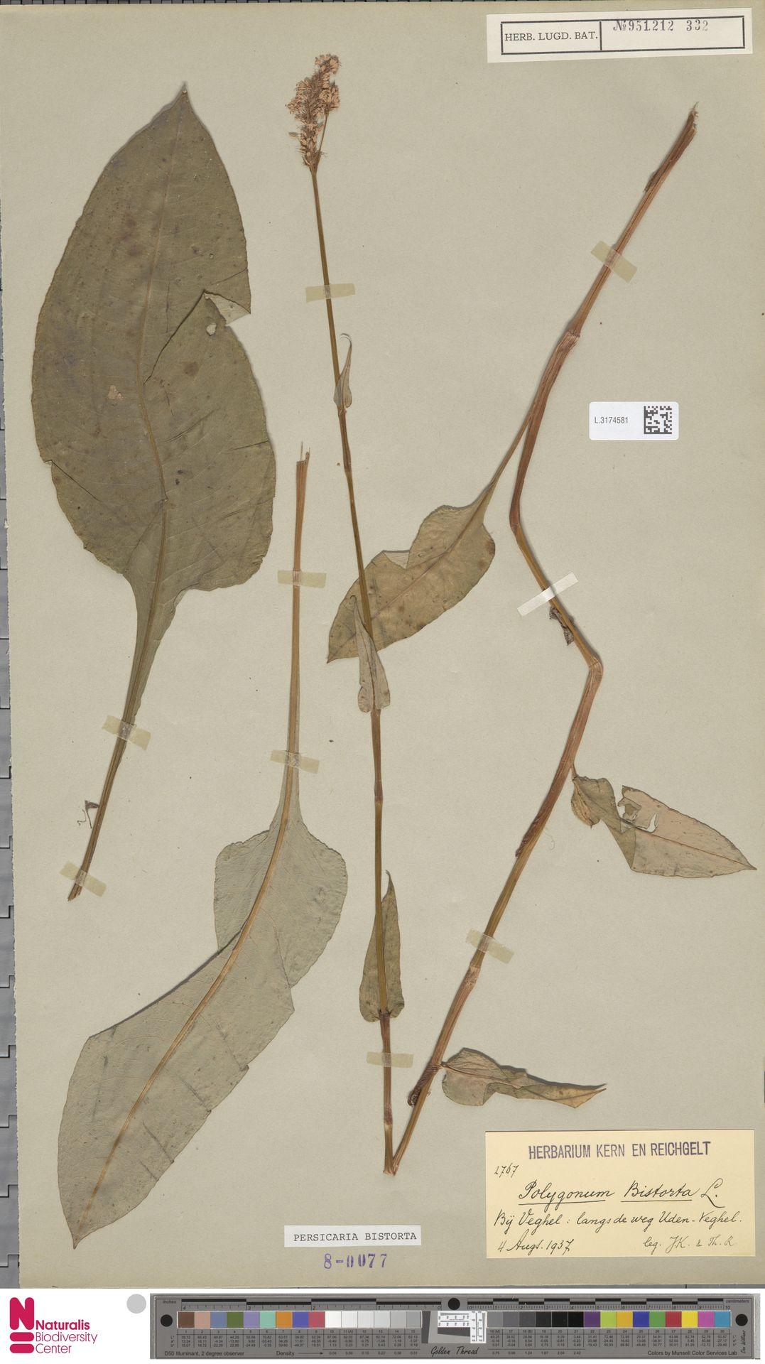 L.3174581 | Persicaria bistorta (L.) Samp.