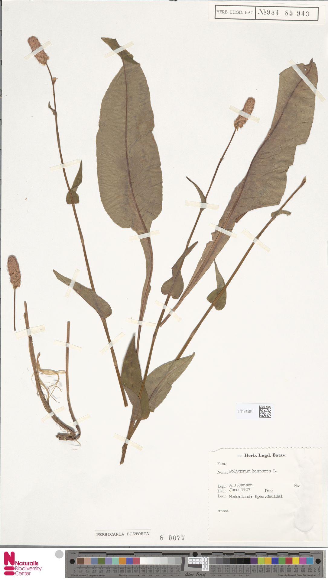L.3174584 | Persicaria bistorta (L.) Samp.