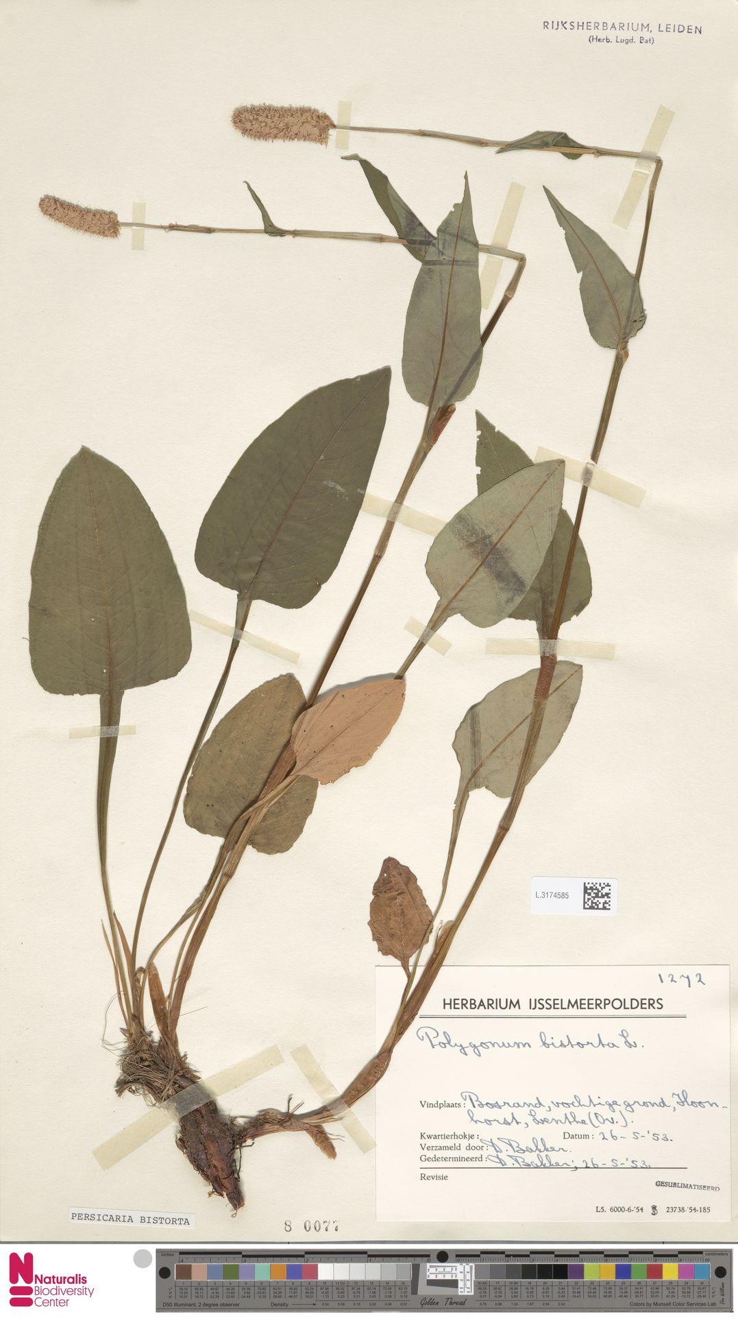 L.3174585 | Persicaria bistorta (L.) Samp.