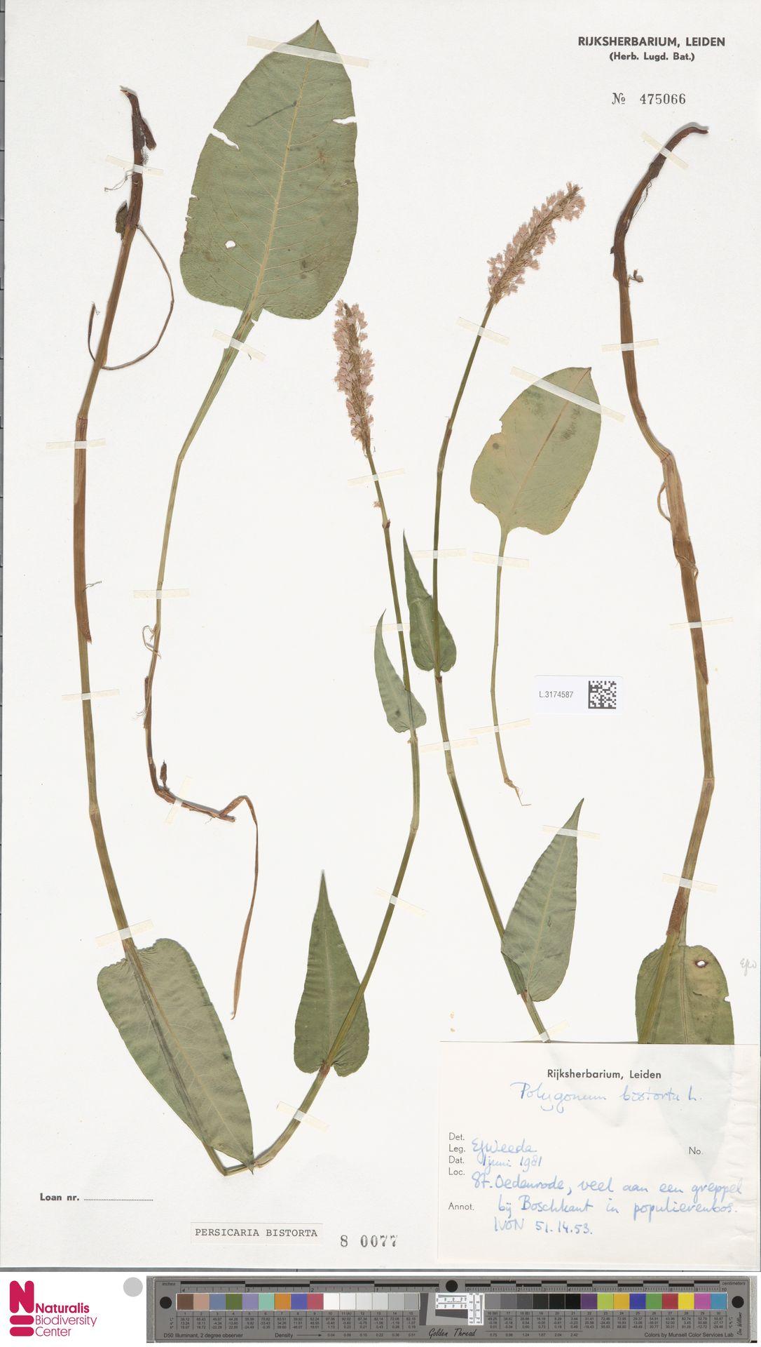 L.3174587 | Persicaria bistorta (L.) Samp.