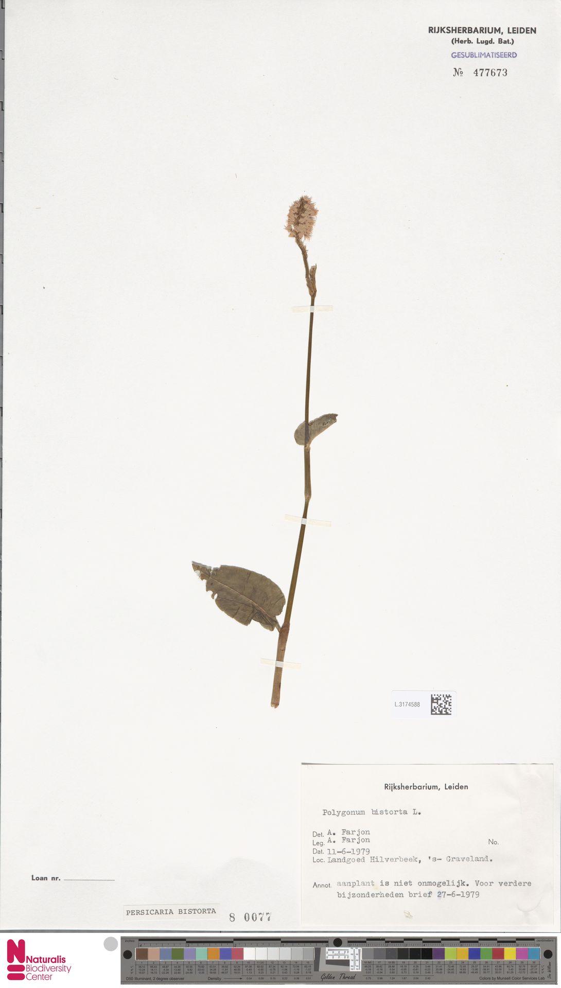 L.3174588   Persicaria bistorta (L.) Samp.