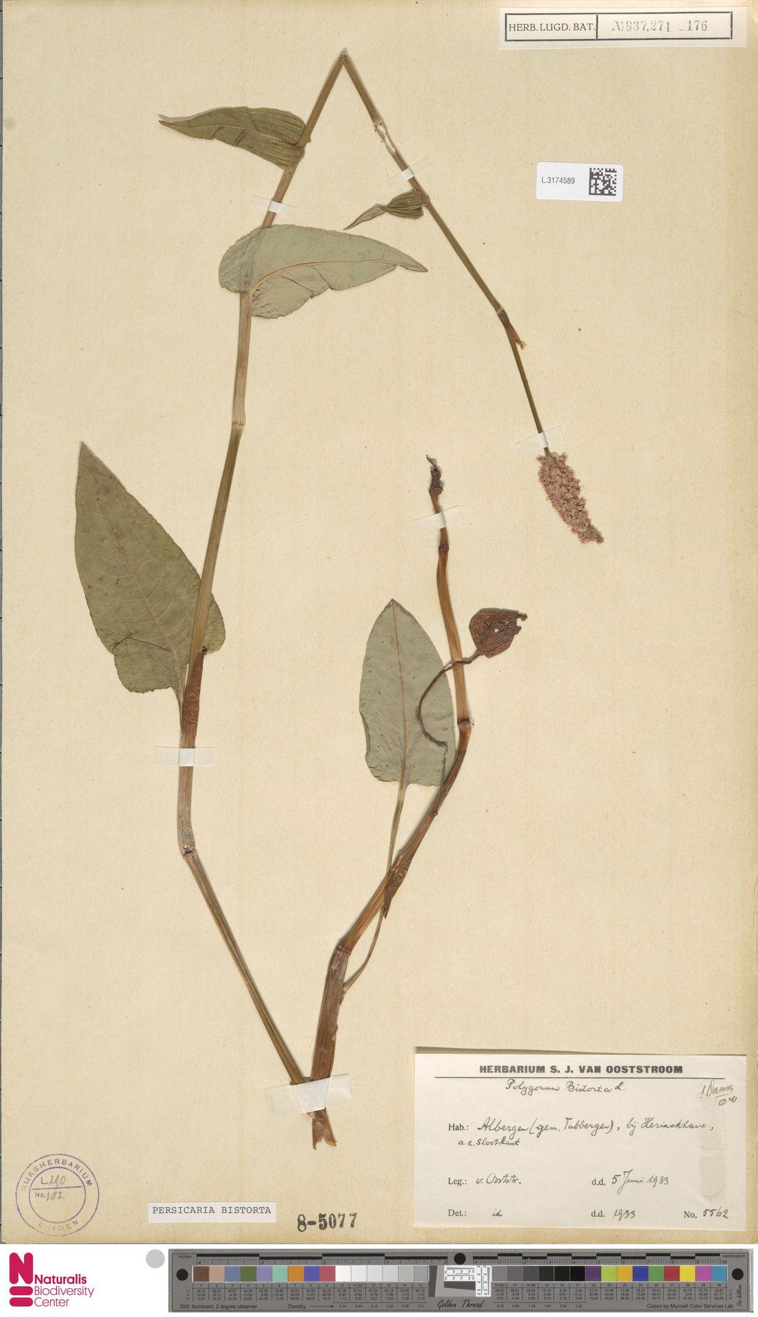 L.3174589 | Persicaria bistorta (L.) Samp.