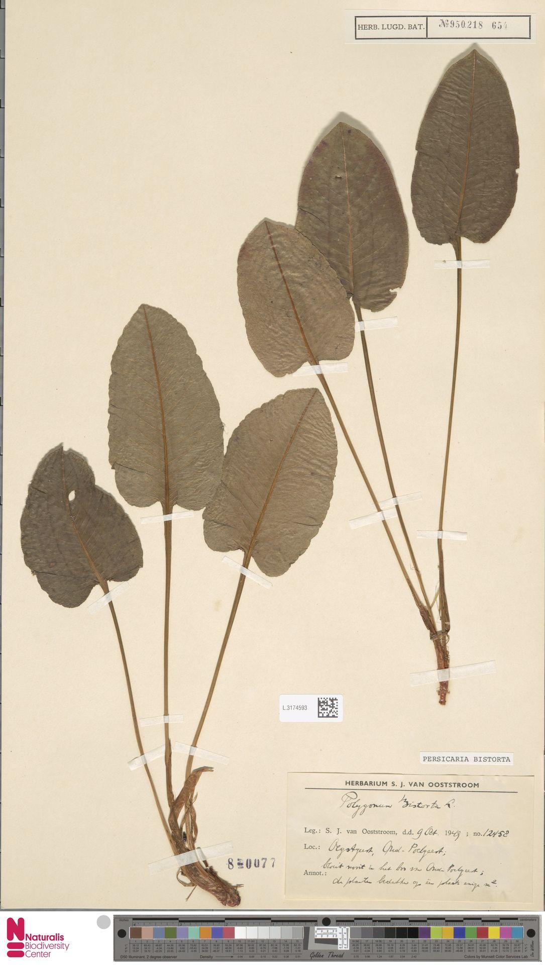 L.3174593 | Persicaria bistorta (L.) Samp.