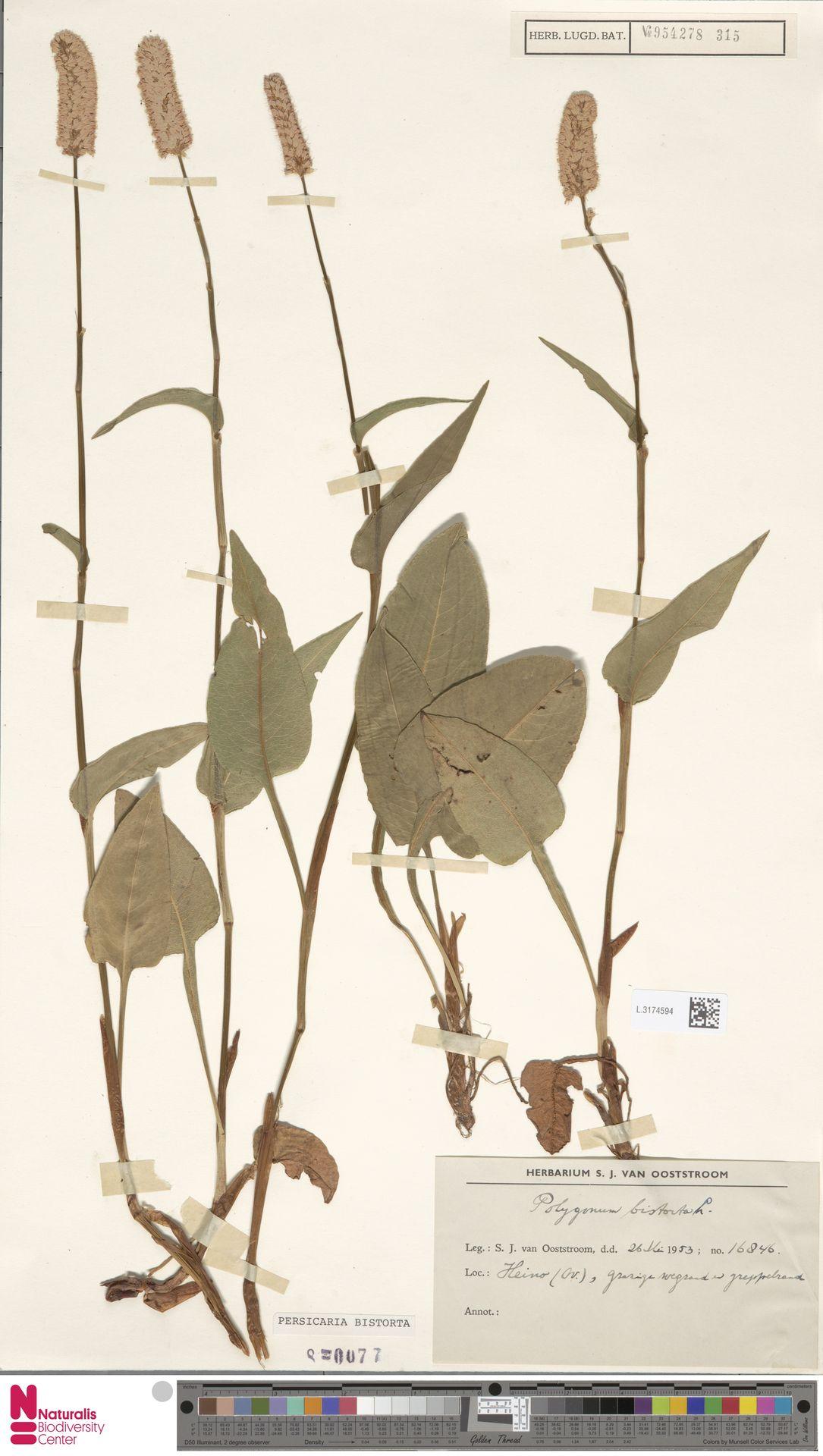 L.3174594   Persicaria bistorta (L.) Samp.