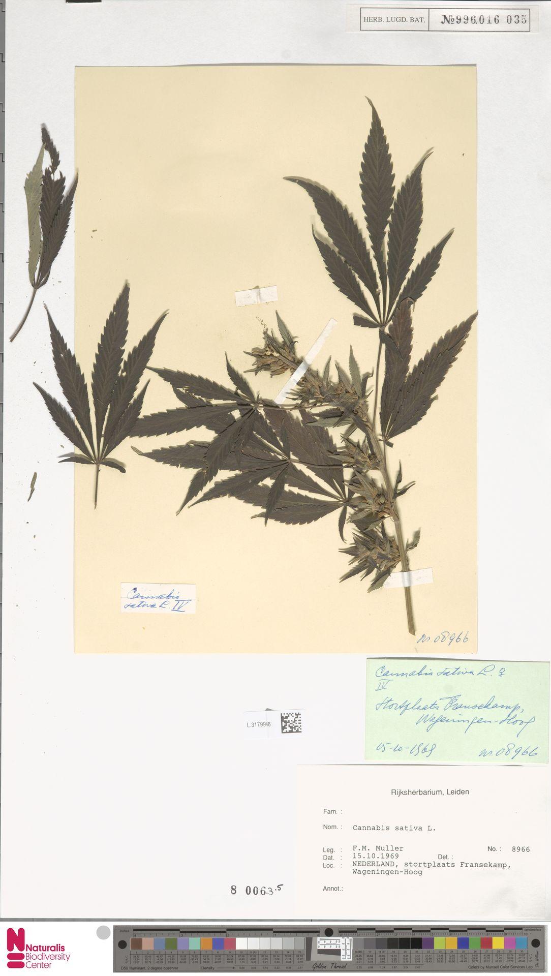 L.3179946 | Cannabis sativa L.