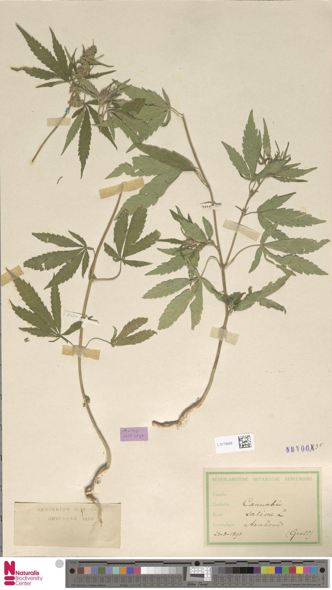 L.3179948 | Cannabis sativa L.