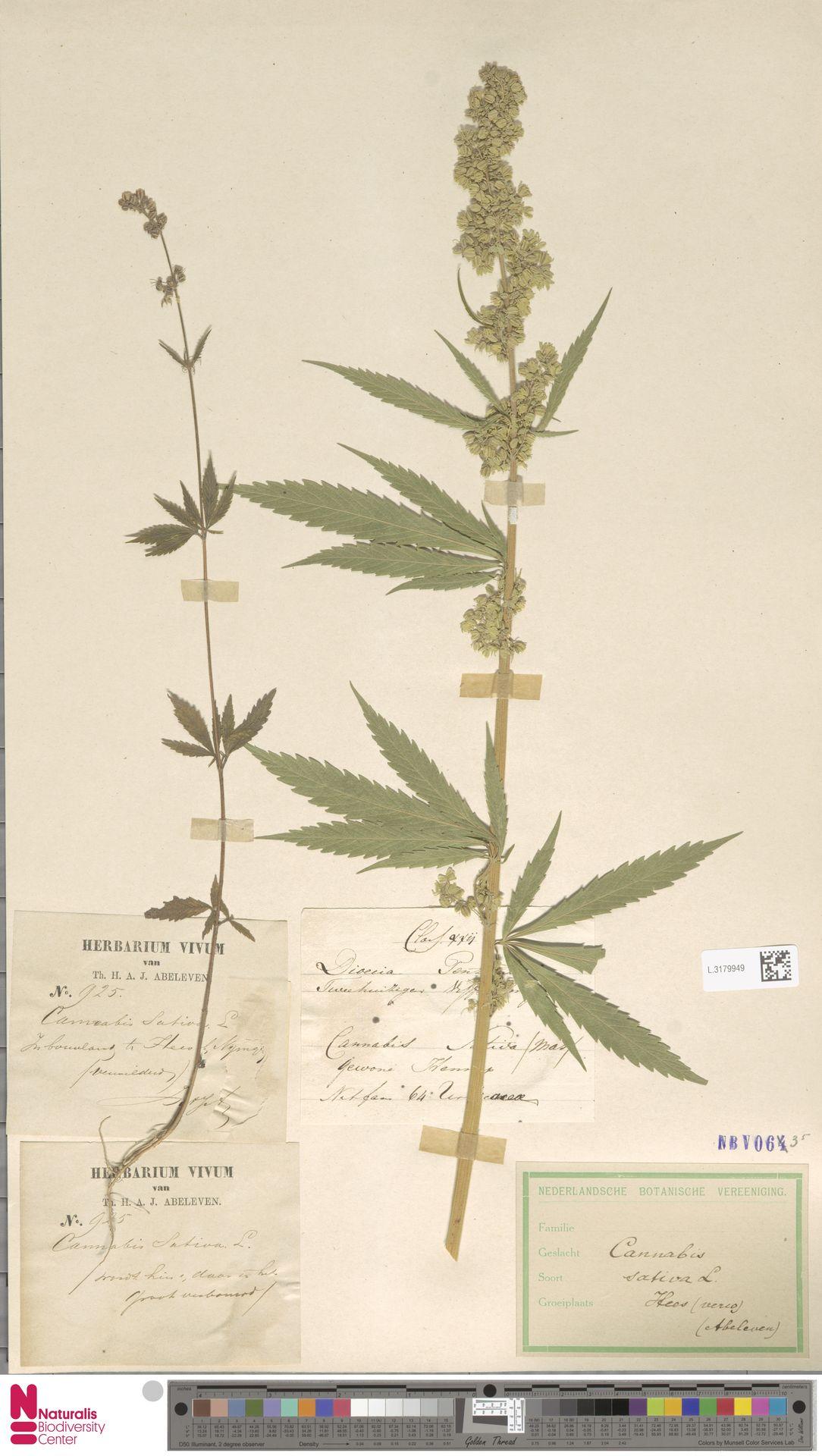 L.3179949   Cannabis sativa L.