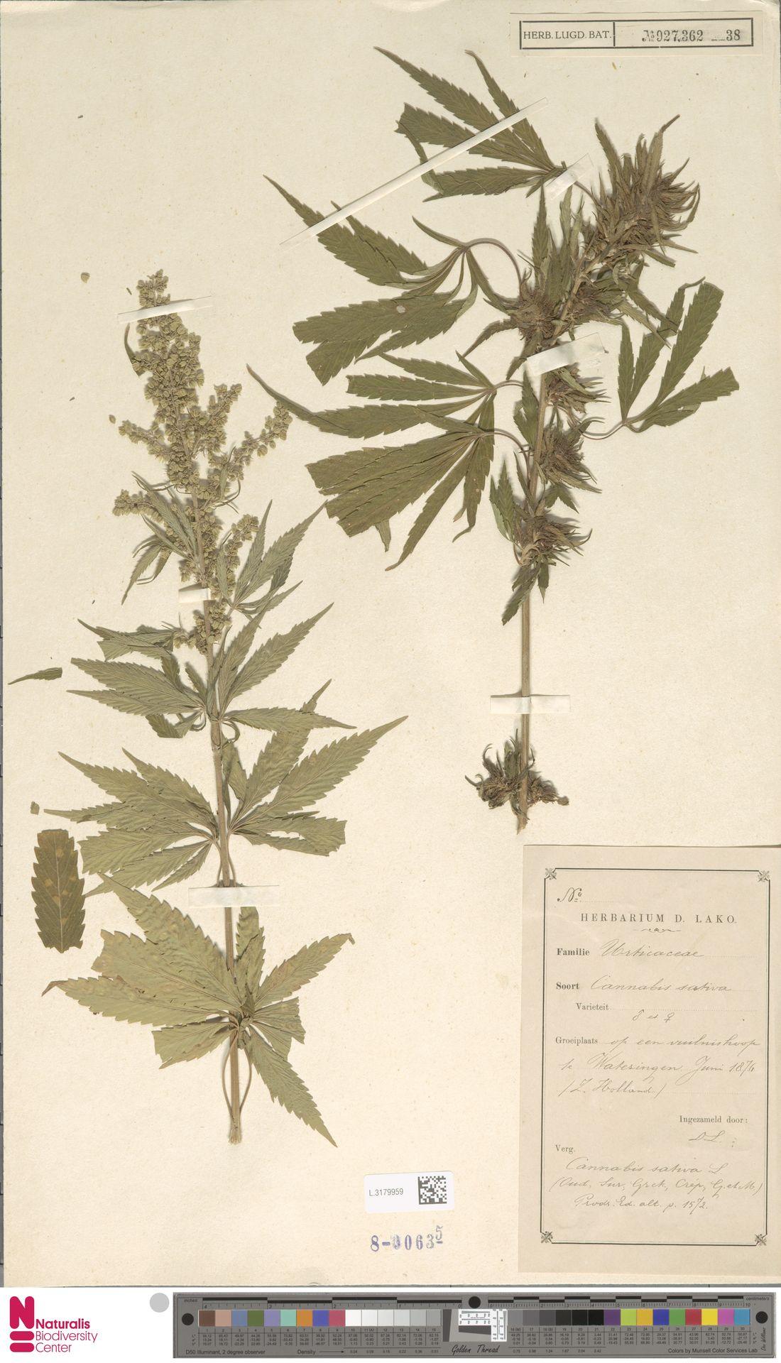 L.3179959   Cannabis sativa L.