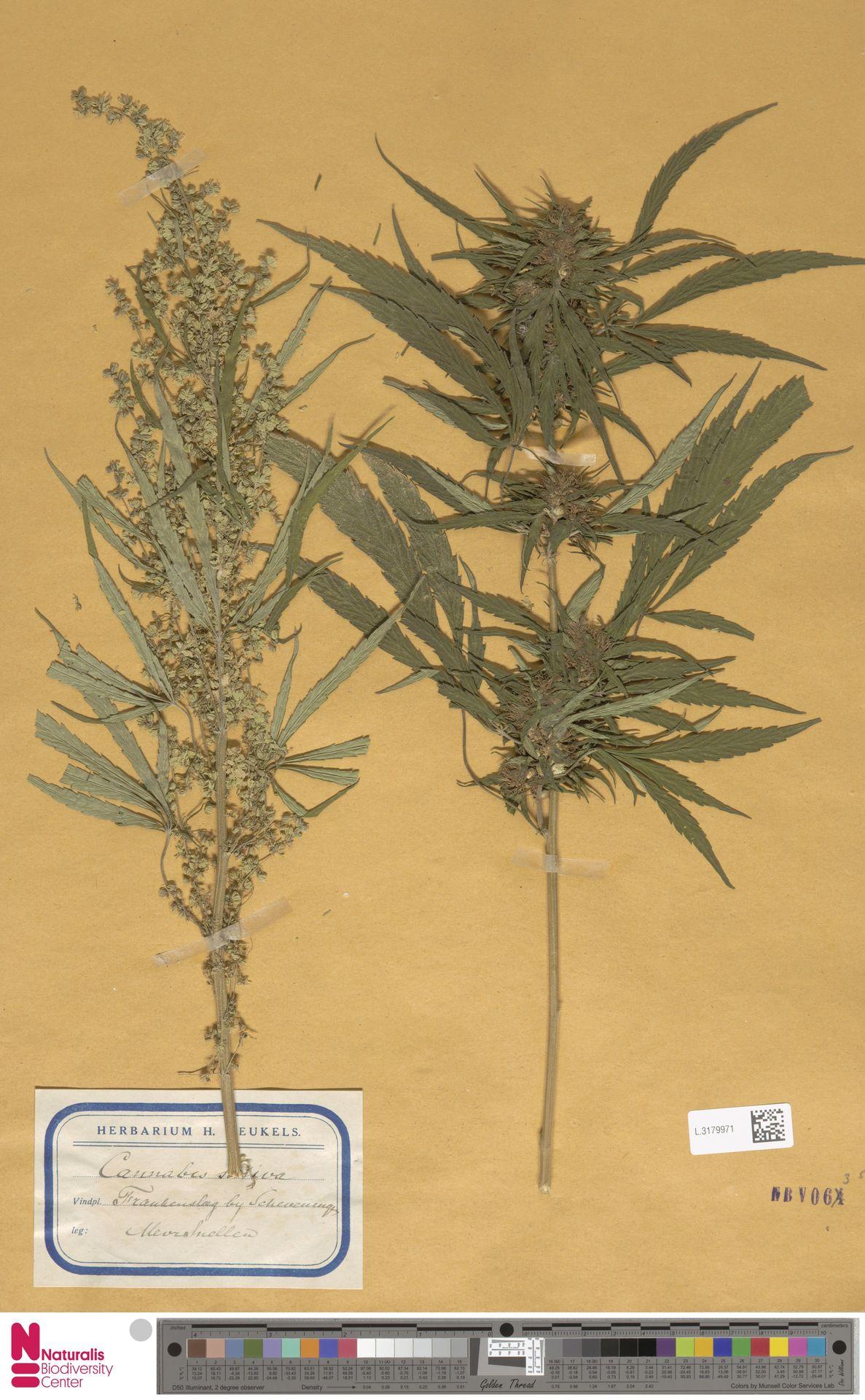 L.3179971 | Cannabis sativa L.