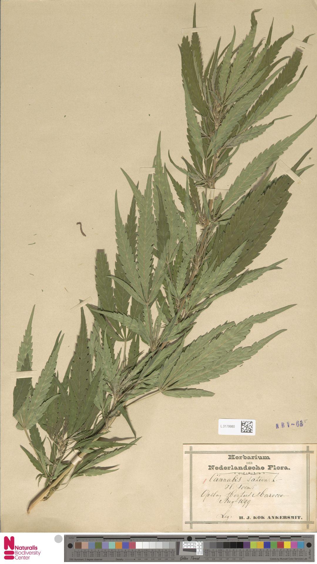 L.3179980 | Cannabis sativa L.