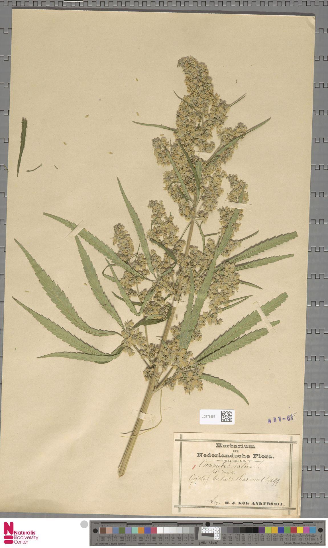 L.3179981   Cannabis sativa L.