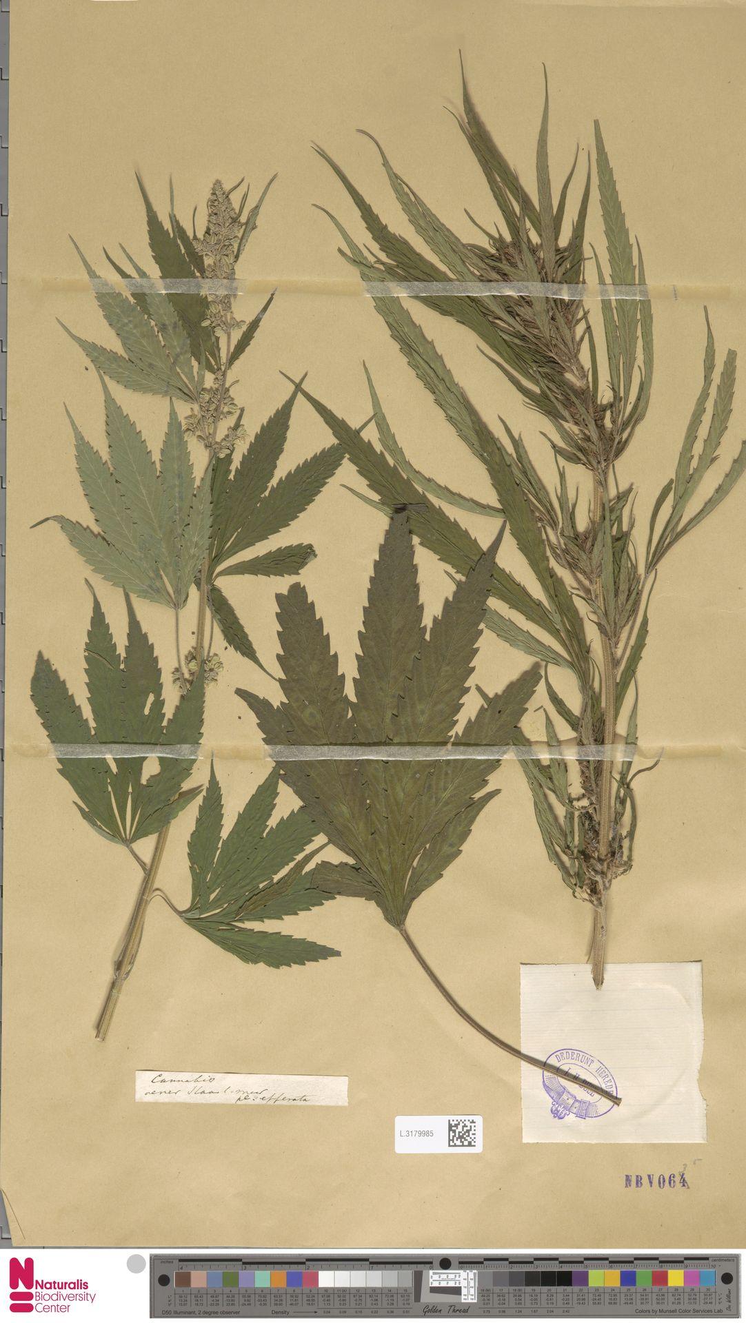 L.3179985   Cannabis sativa L.