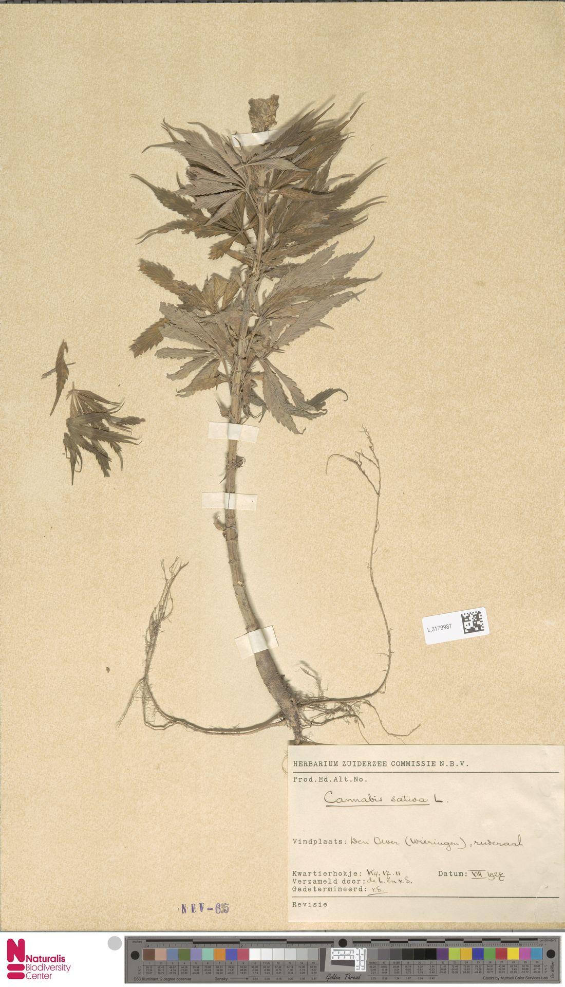 L.3179987 | Cannabis sativa L.