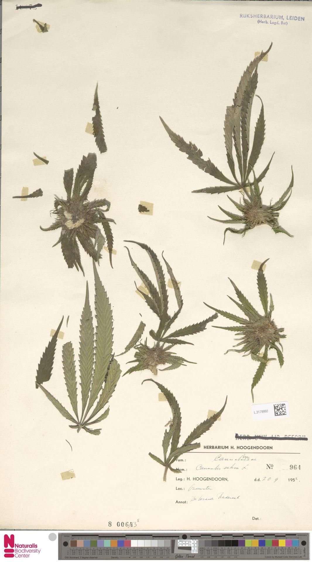 L.3179992   Cannabis sativa L.