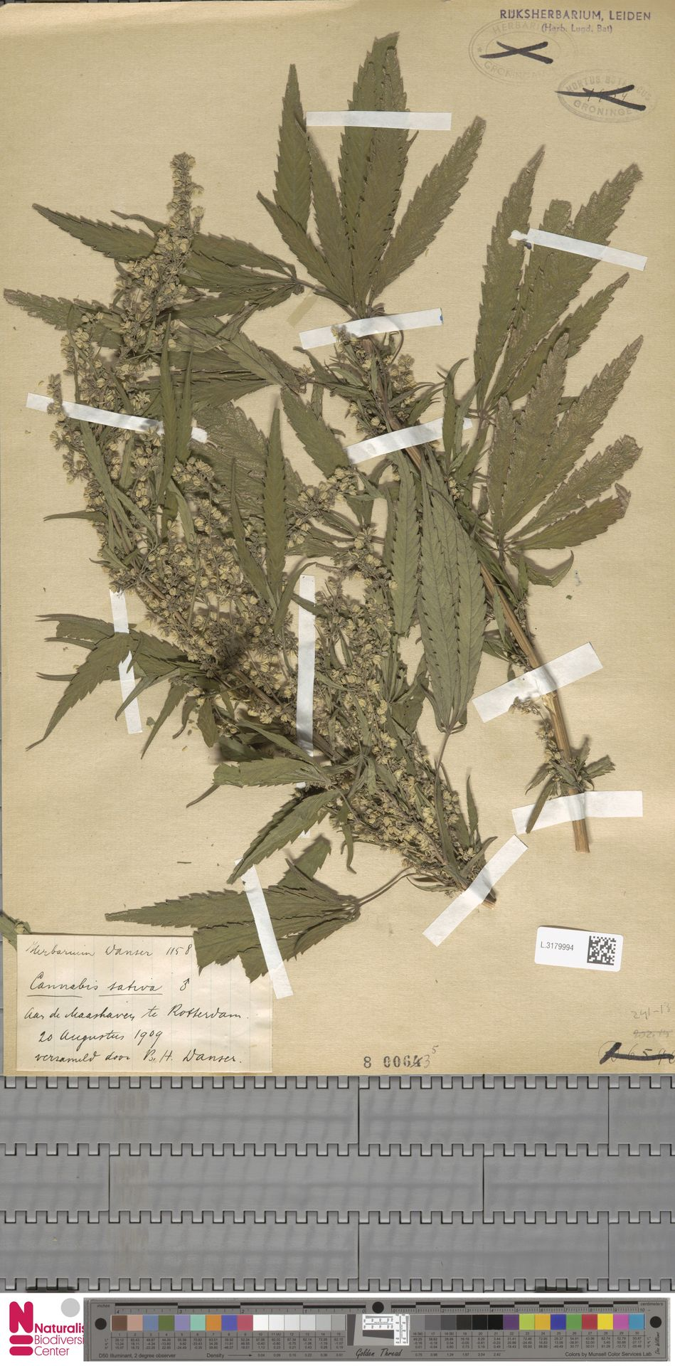 L.3179994 | Cannabis sativa L.