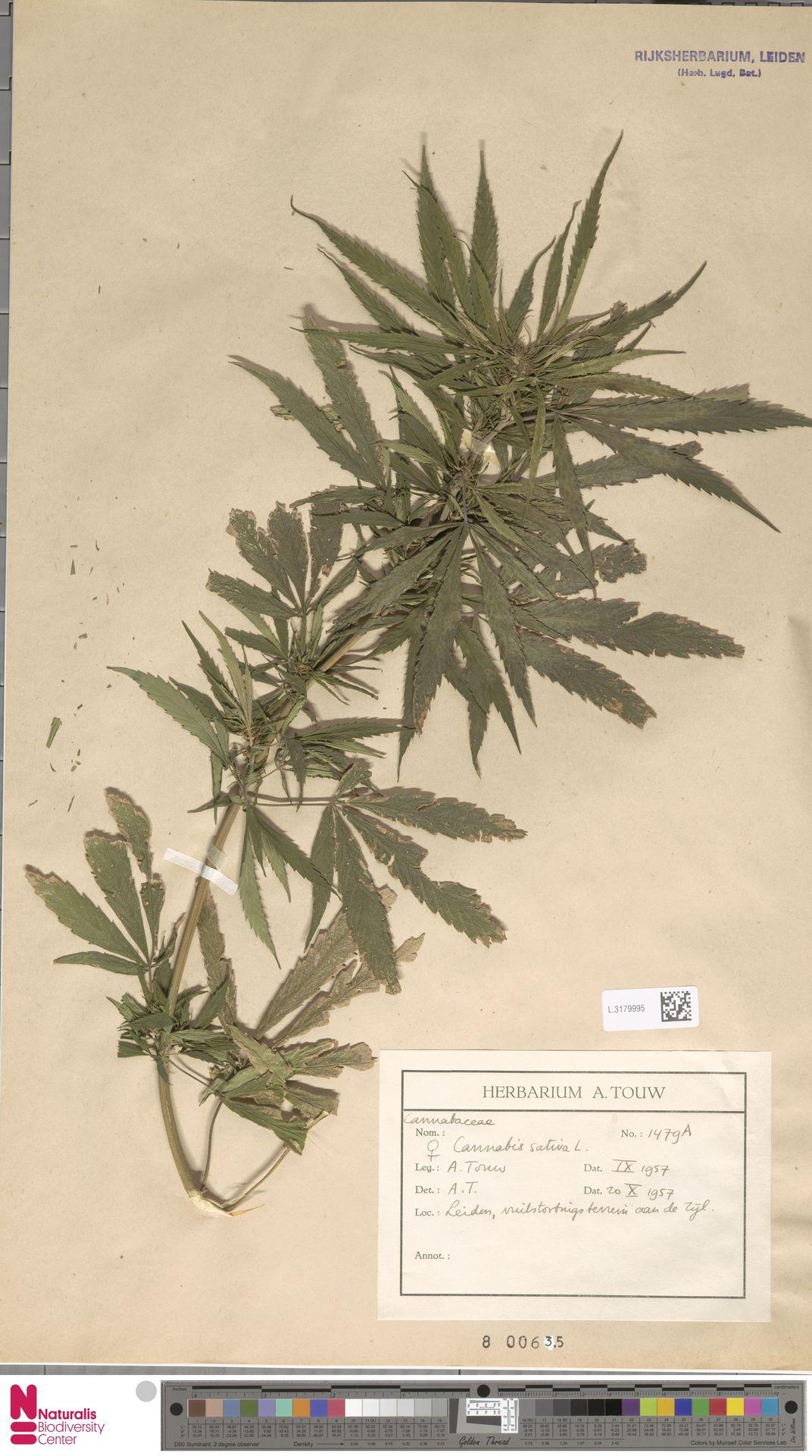L.3179995   Cannabis sativa L.