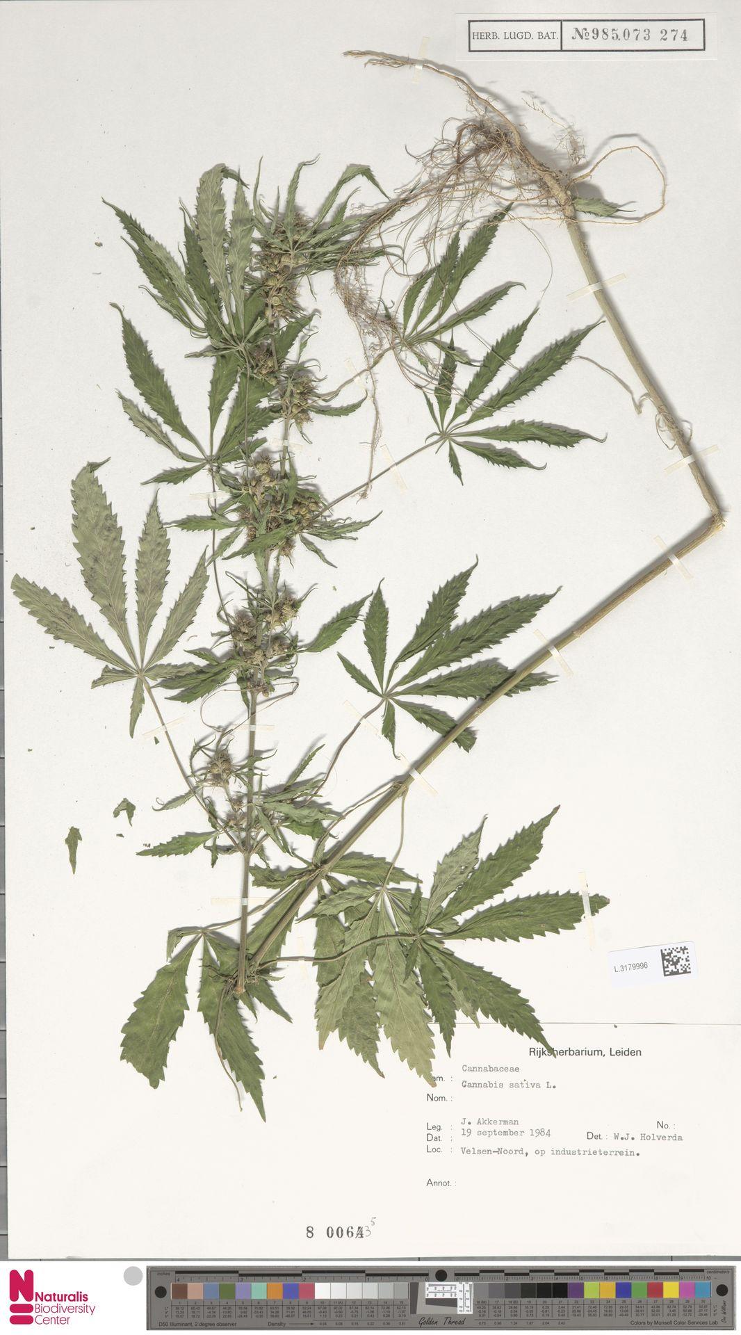 L.3179996 | Cannabis sativa L.
