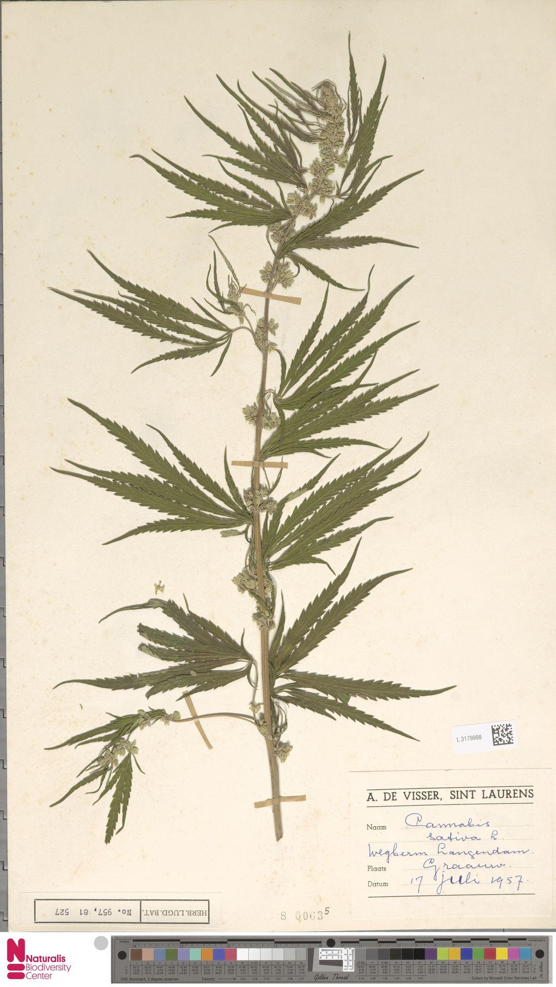 L.3179998 | Cannabis sativa L.