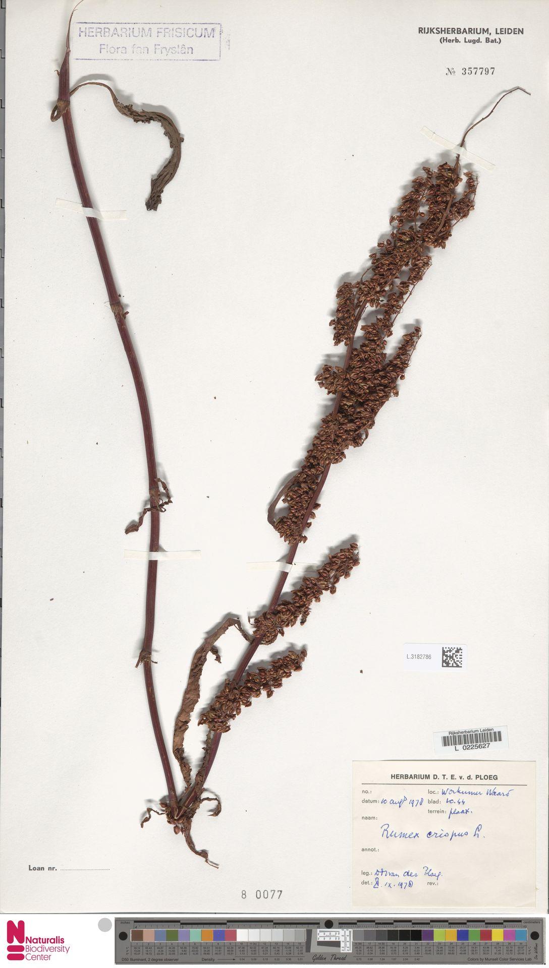 L.3182786 | Rumex crispus L.