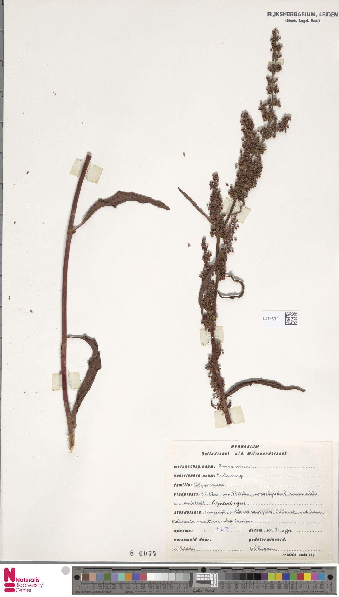 L.3182789 | Rumex crispus L.