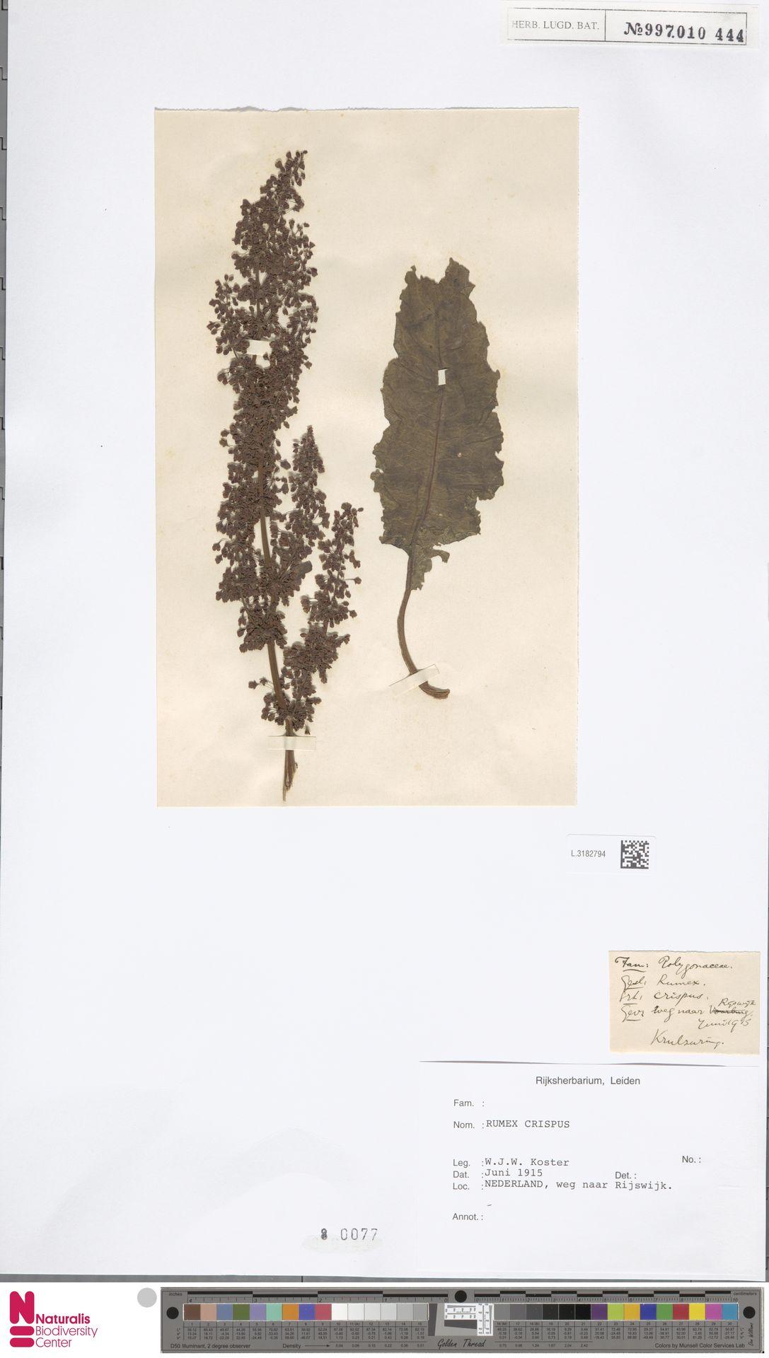 L.3182794 | Rumex crispus L.