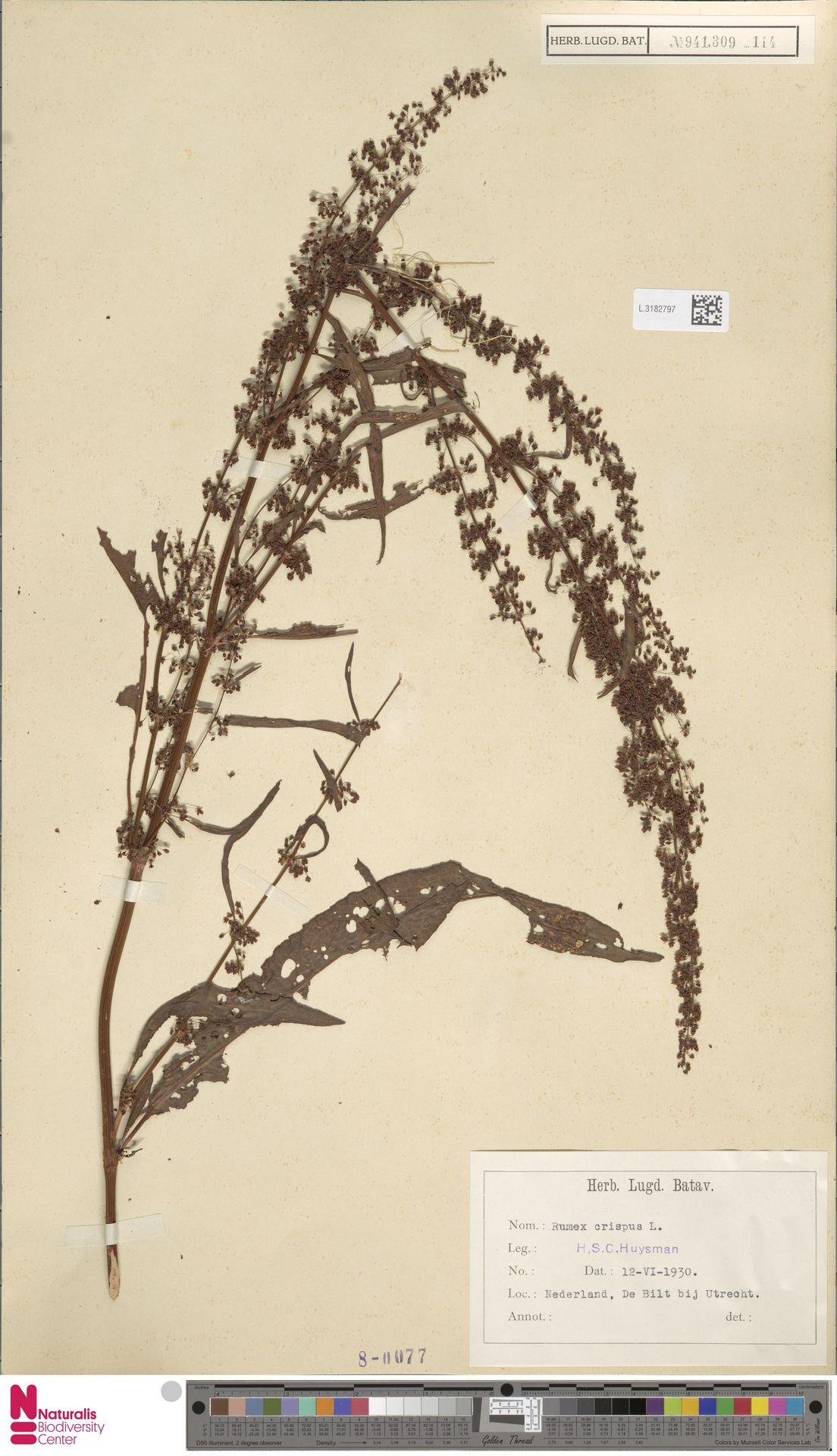 L.3182797 | Rumex crispus L.
