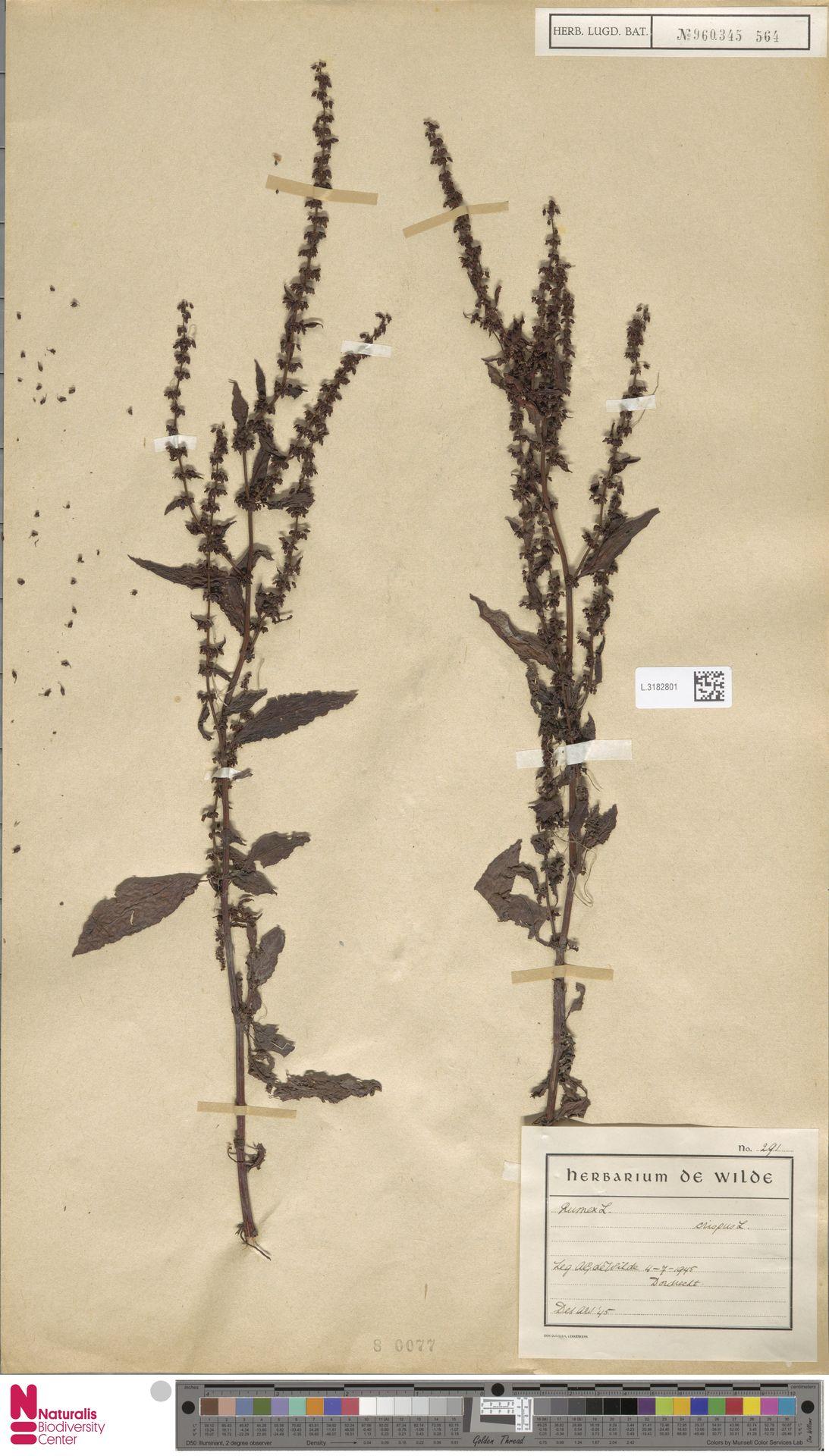 L.3182801 | Rumex crispus L.