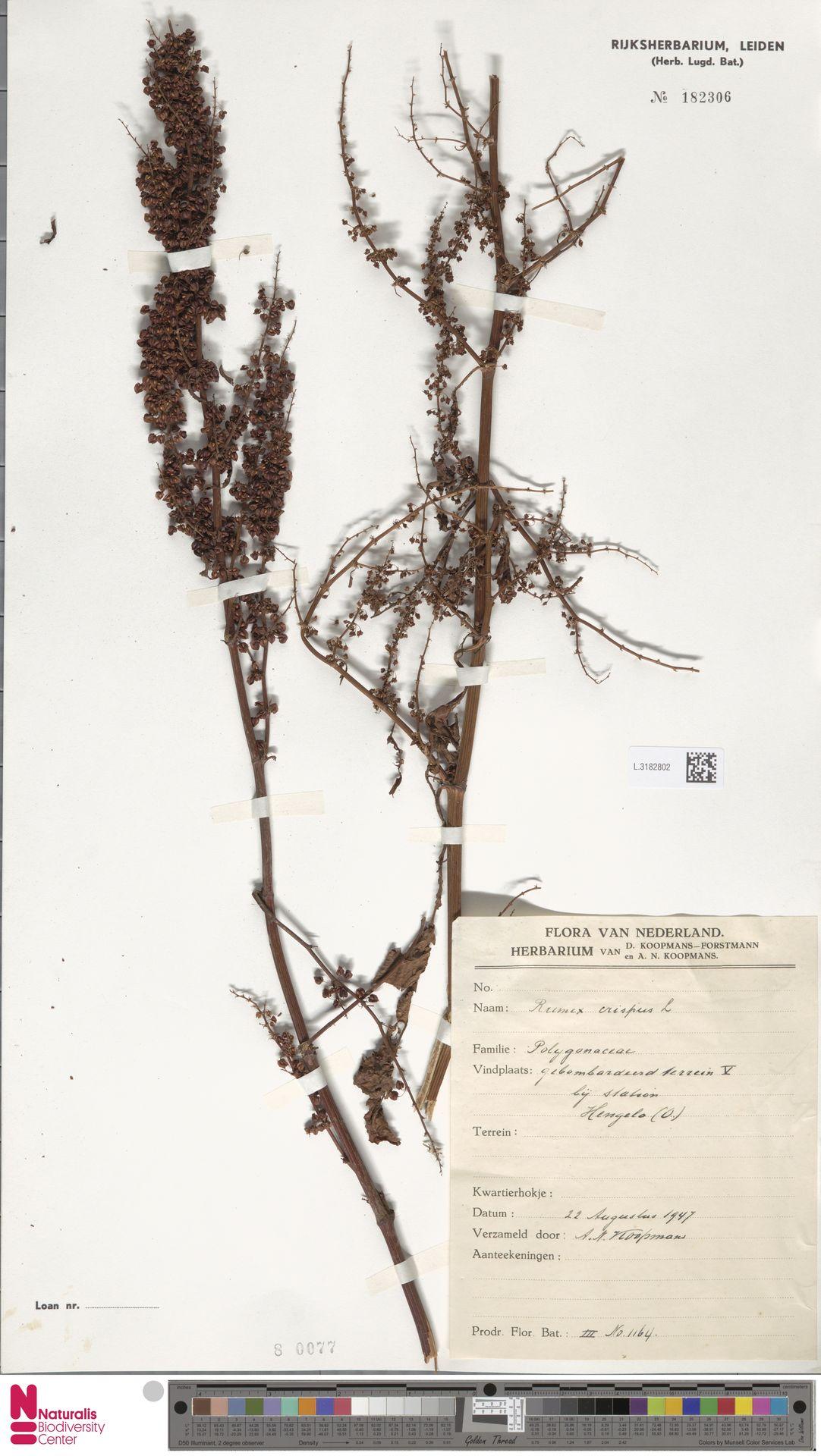 L.3182802 | Rumex crispus L.