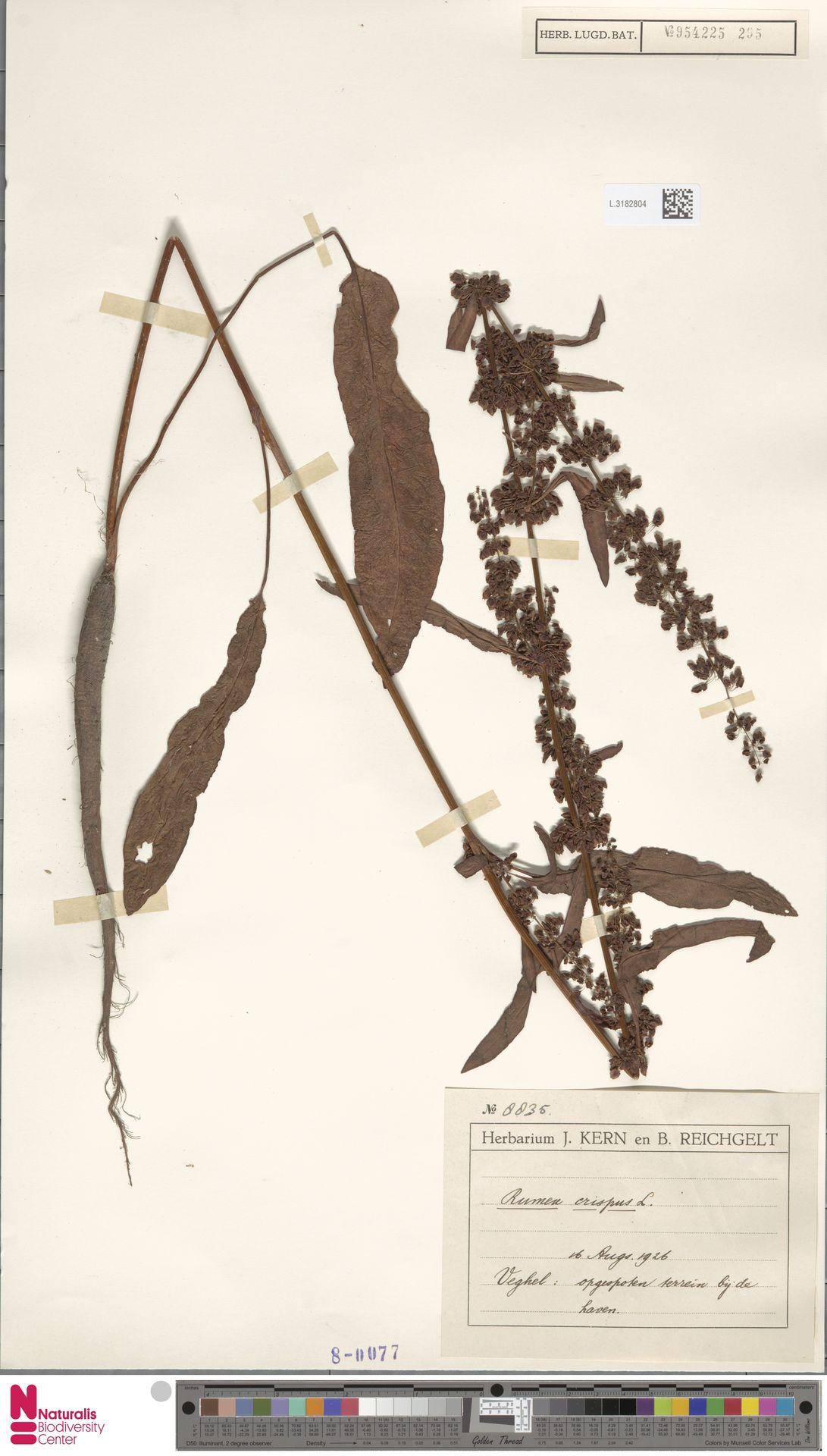 L.3182804   Rumex crispus L.